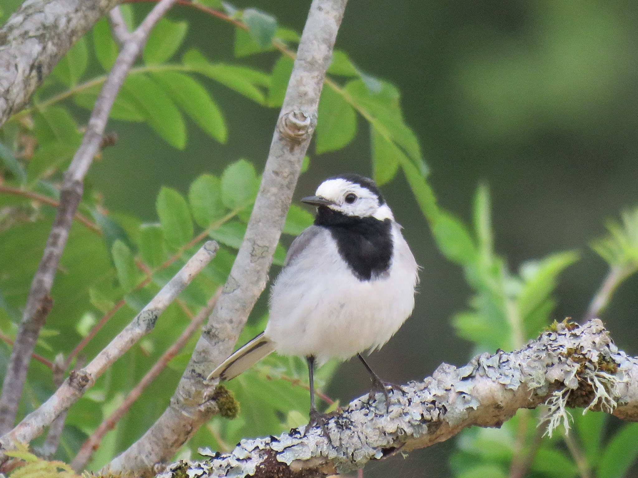 #Wagtail by marit
