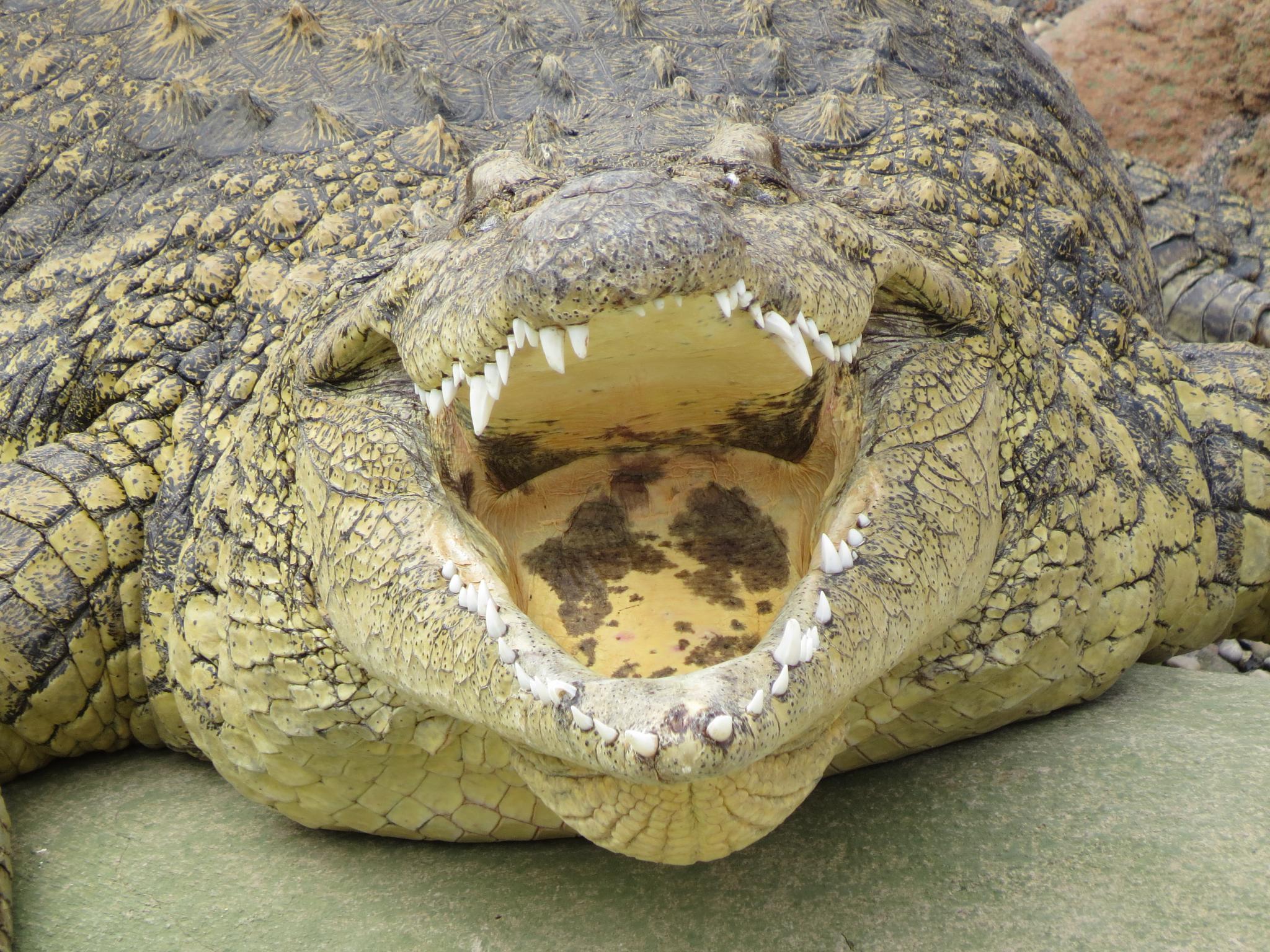#Crocodyl by marit