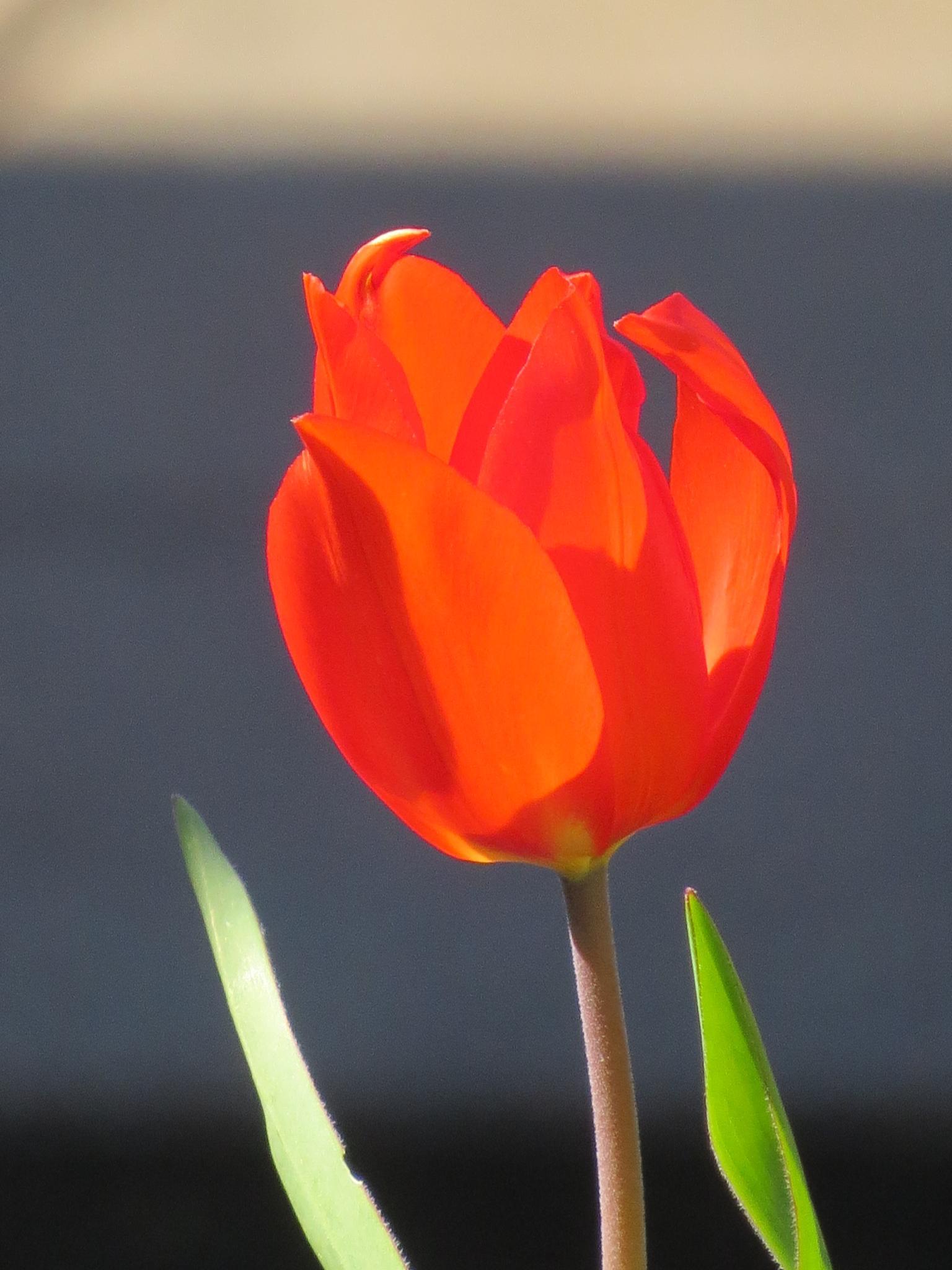 Photo in Random #flower #tulip