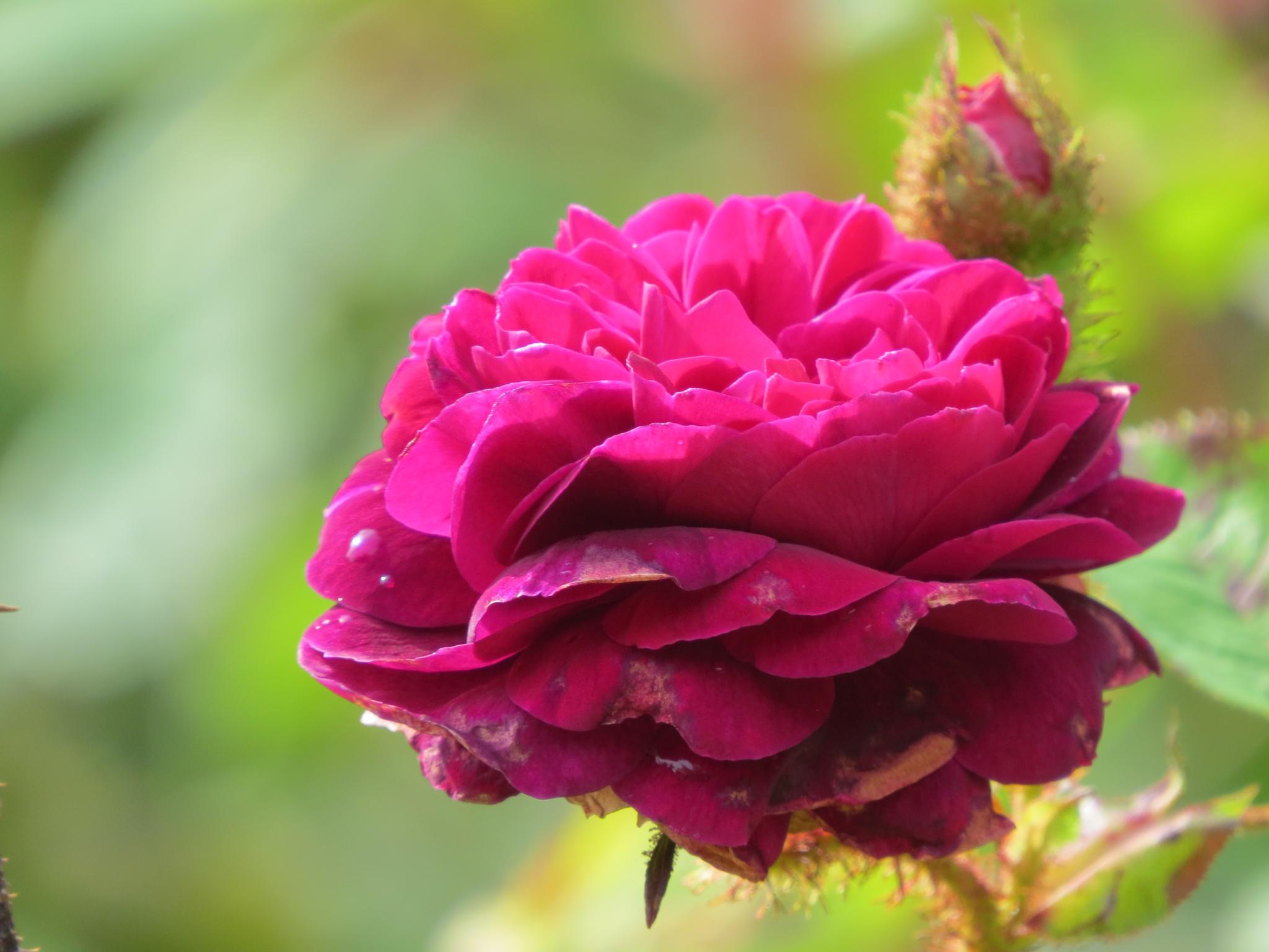 #Rose by marit