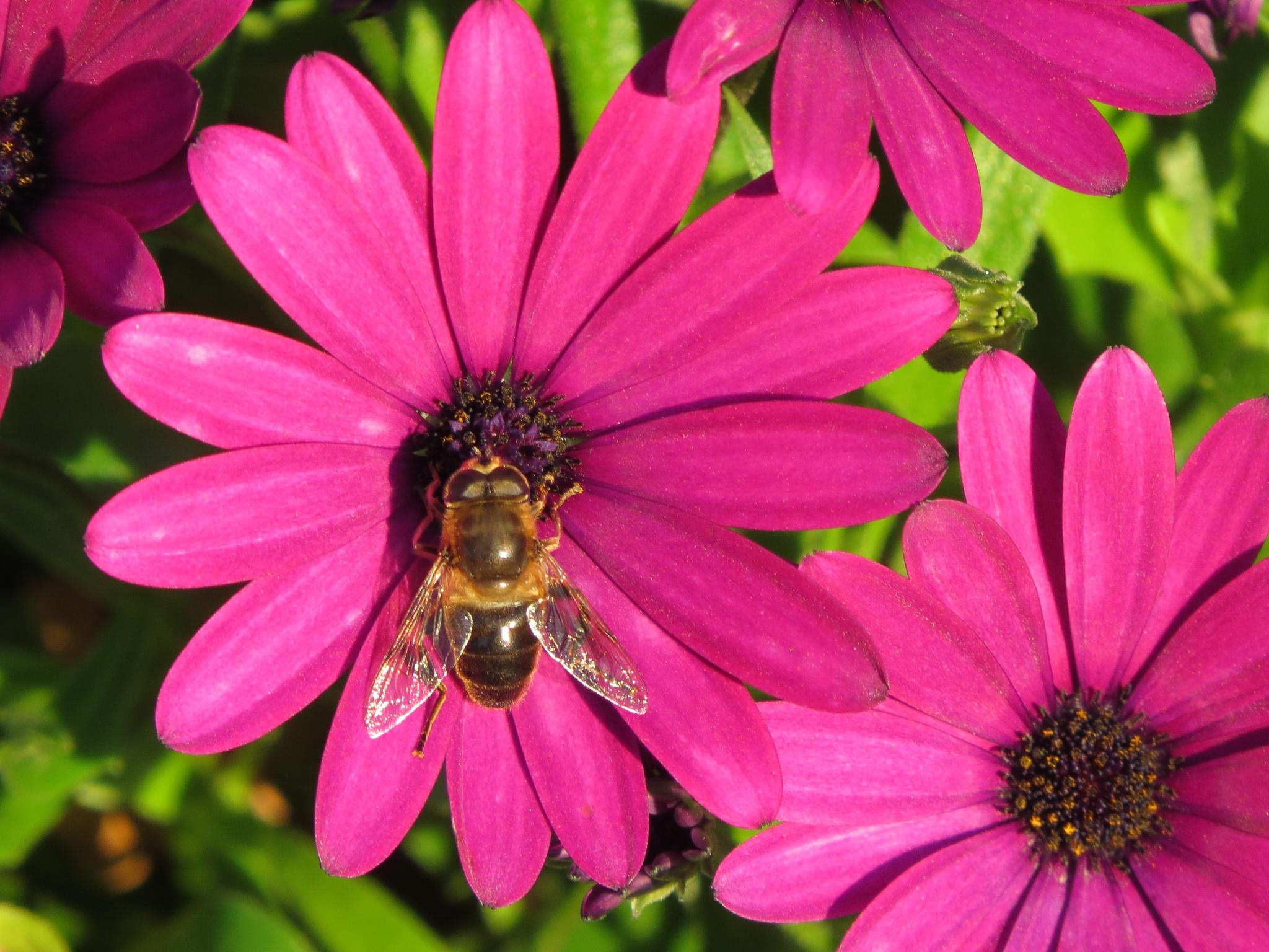 # Flowerfly in October  by marit