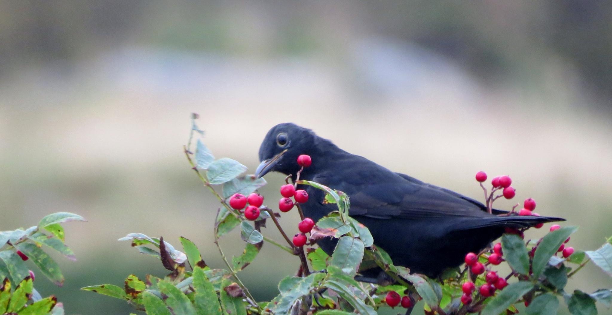 #Blackbird by marit