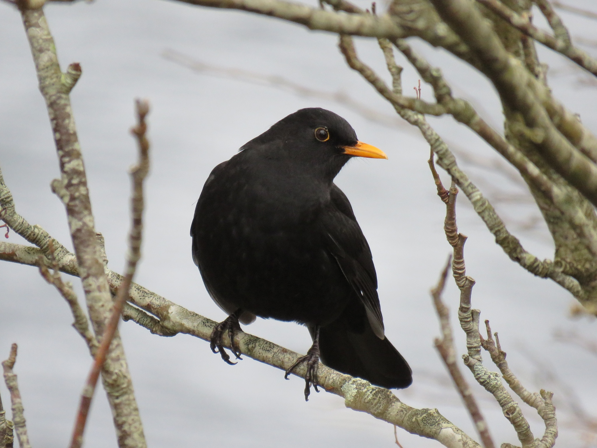 #Blackbird 1 by marit