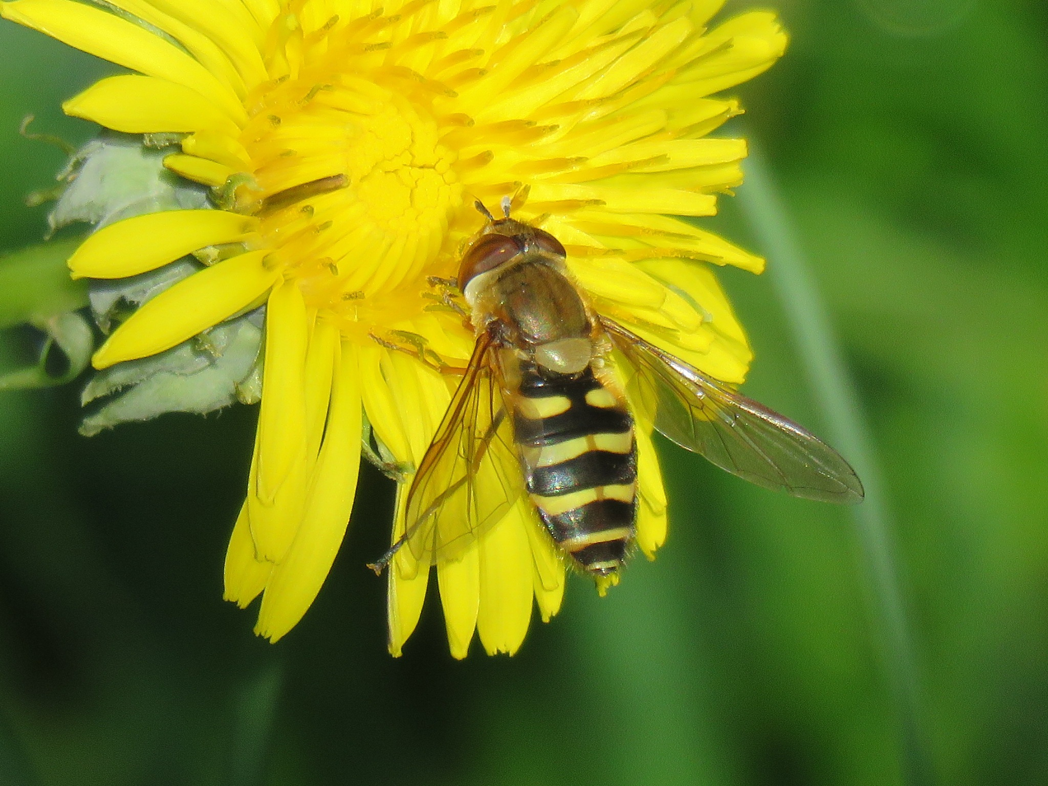 #Wild flower and hoverfly by marit