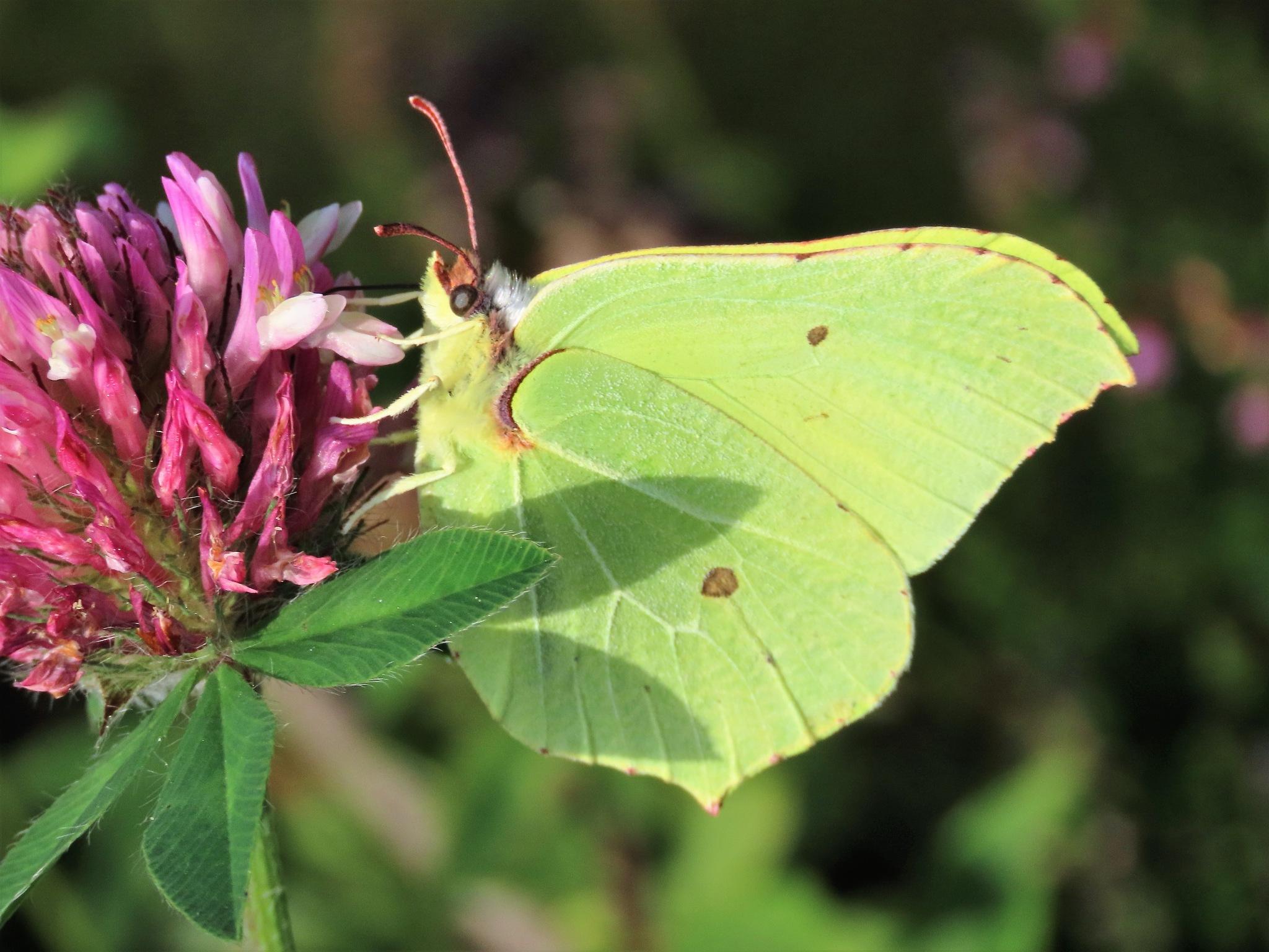 #Lemmon butterfly by marit