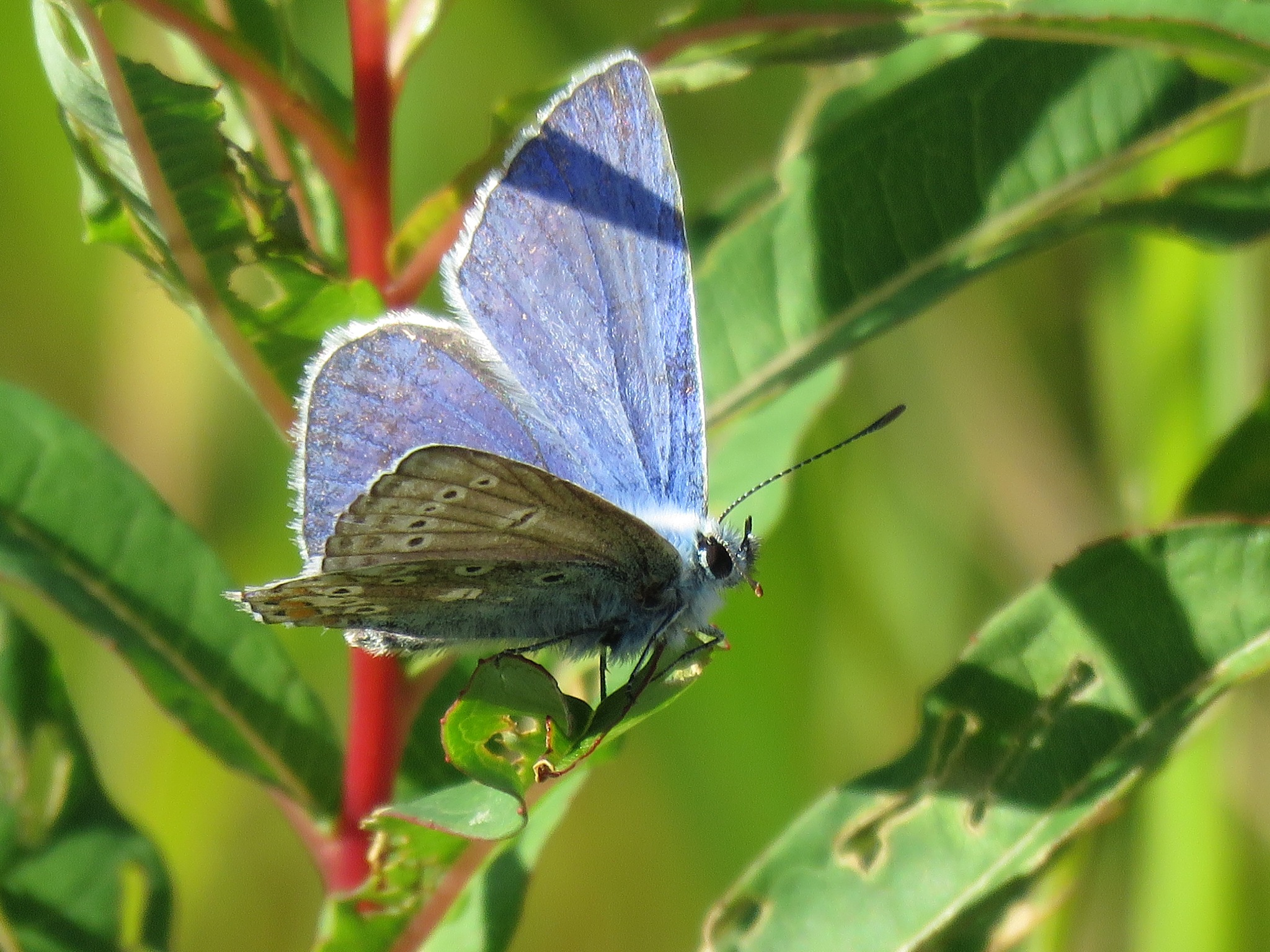 #Bluewing by marit