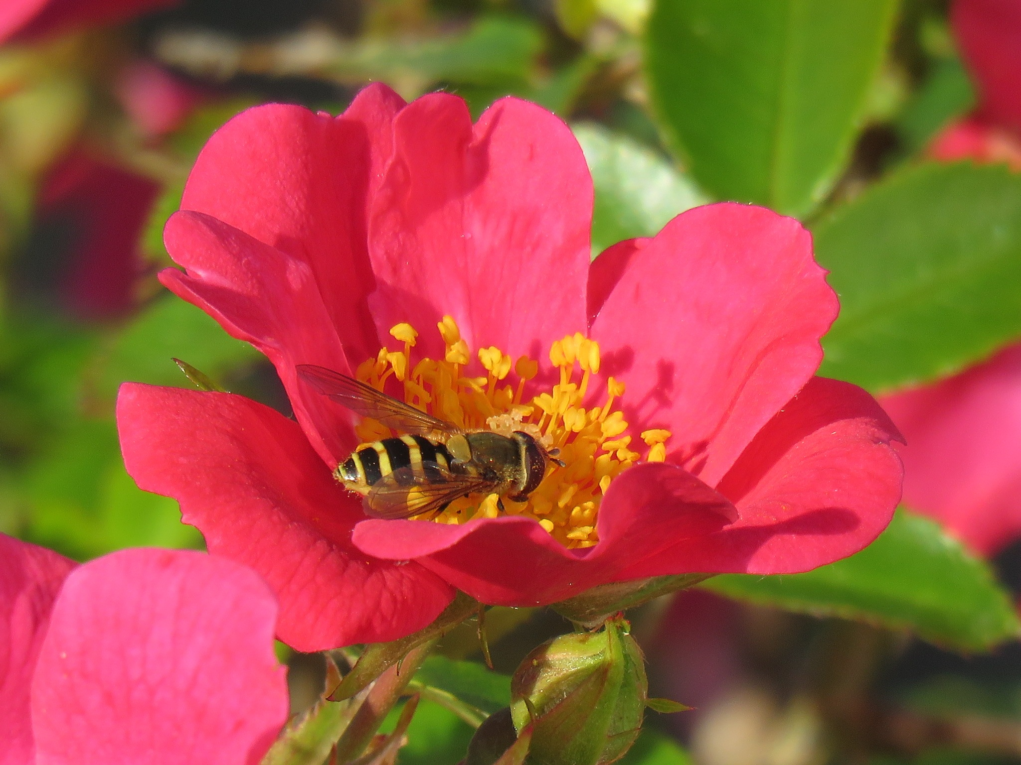 #Rose and hoverfly by marit