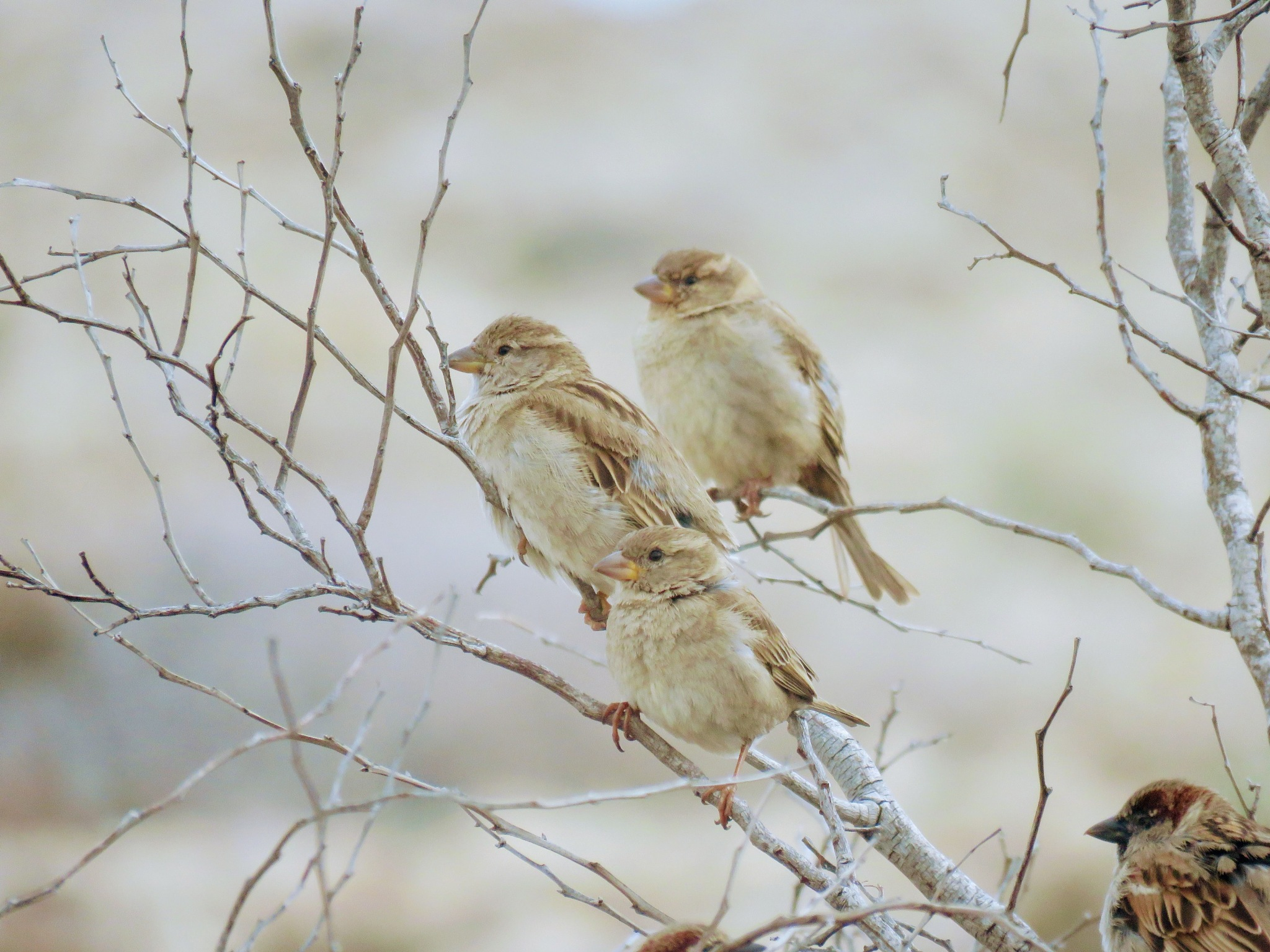 Photo in Nature #spurv #cyprus #sparrow
