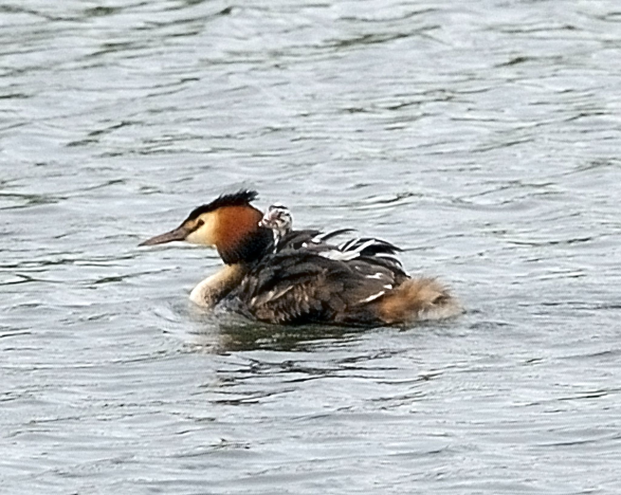 Great Crested Grebe and Chick by David Pearson