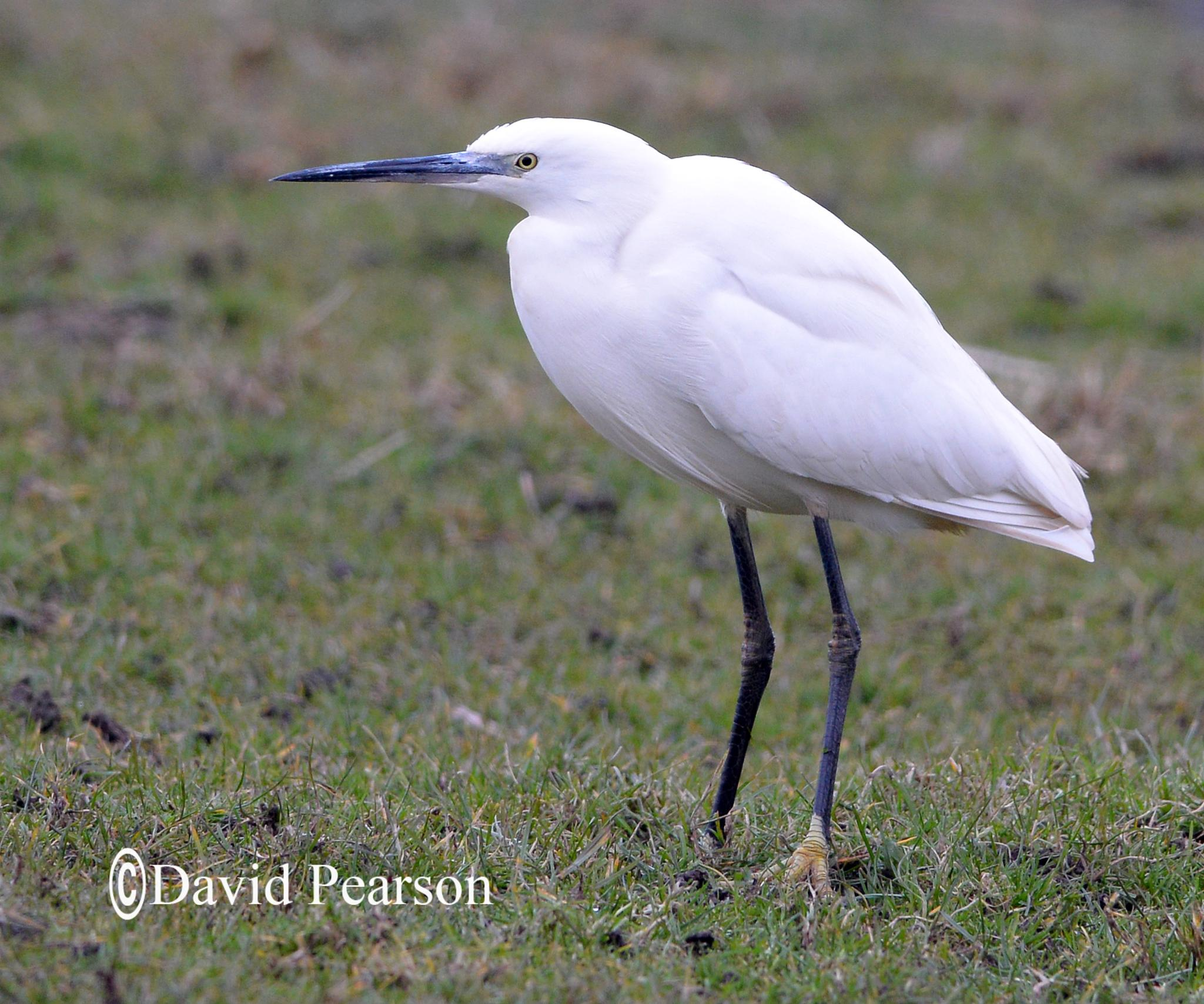 Little Egret by David Pearson