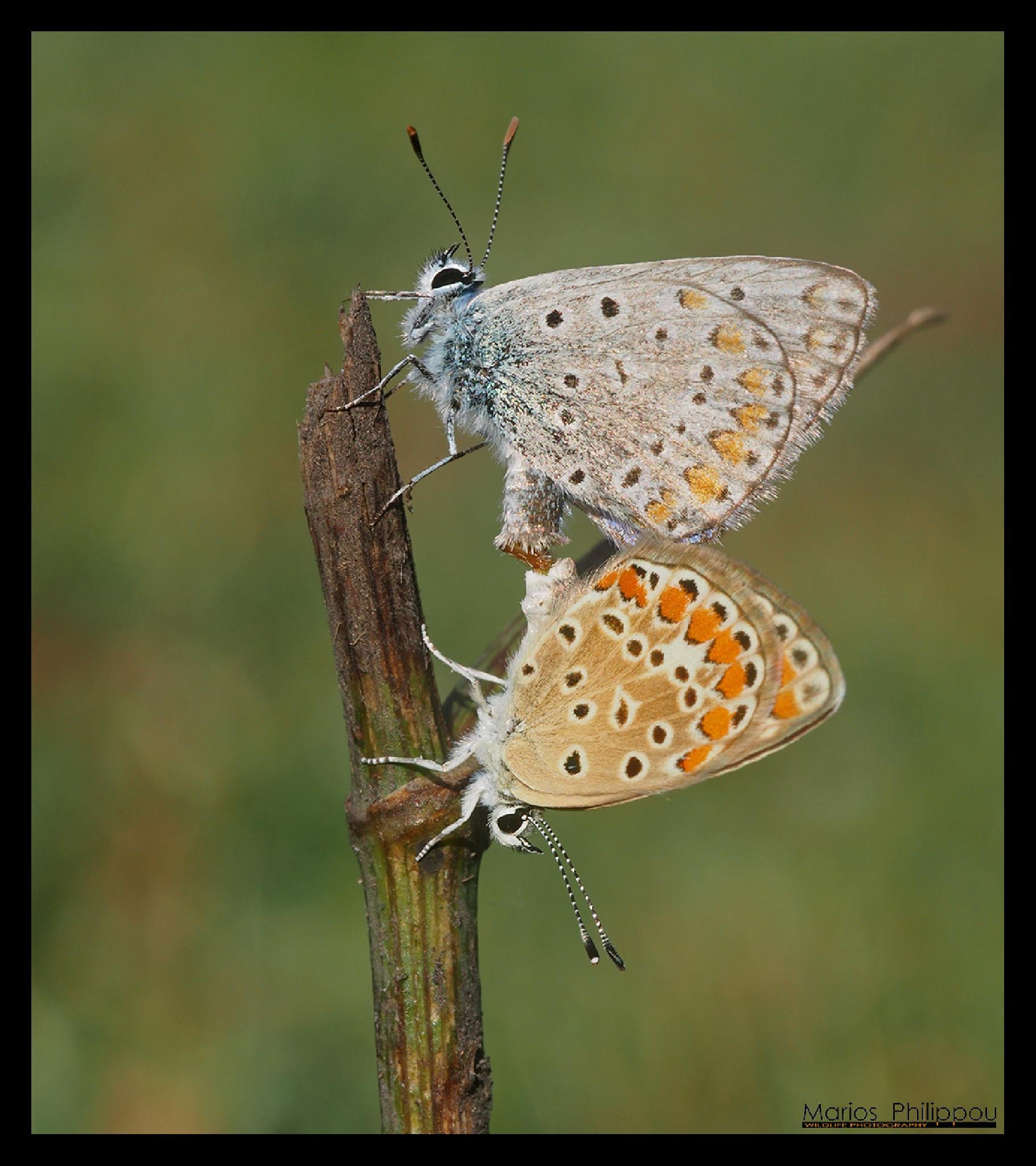Photo in Macro #polyommatus icarus #cyprus #discovery #marios #philippou #akrotiri
