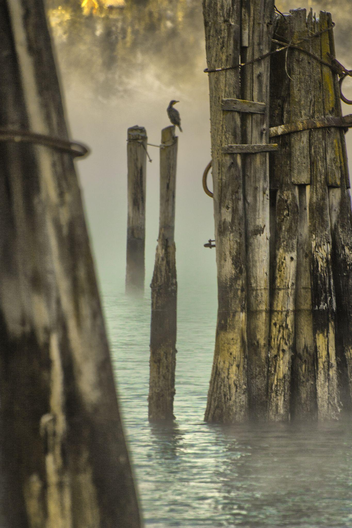 Cormorant Hommelvik shoreline by Odd Rune Wang