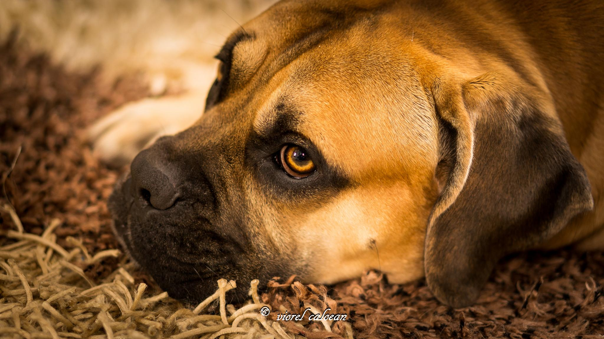 Photo in Animal #cane corso #love #dog