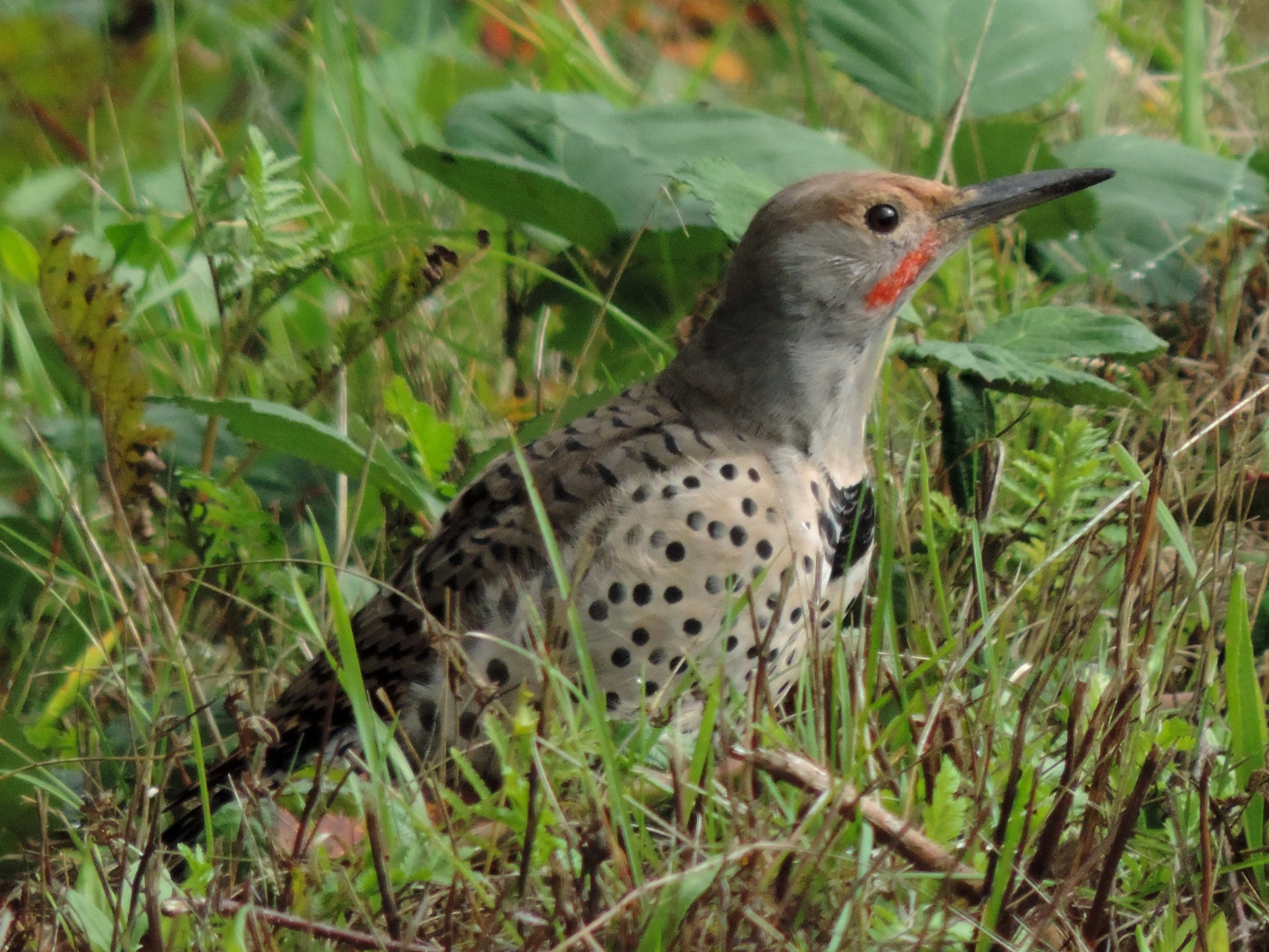 Red Shafted Northern flicker. by henrywall63