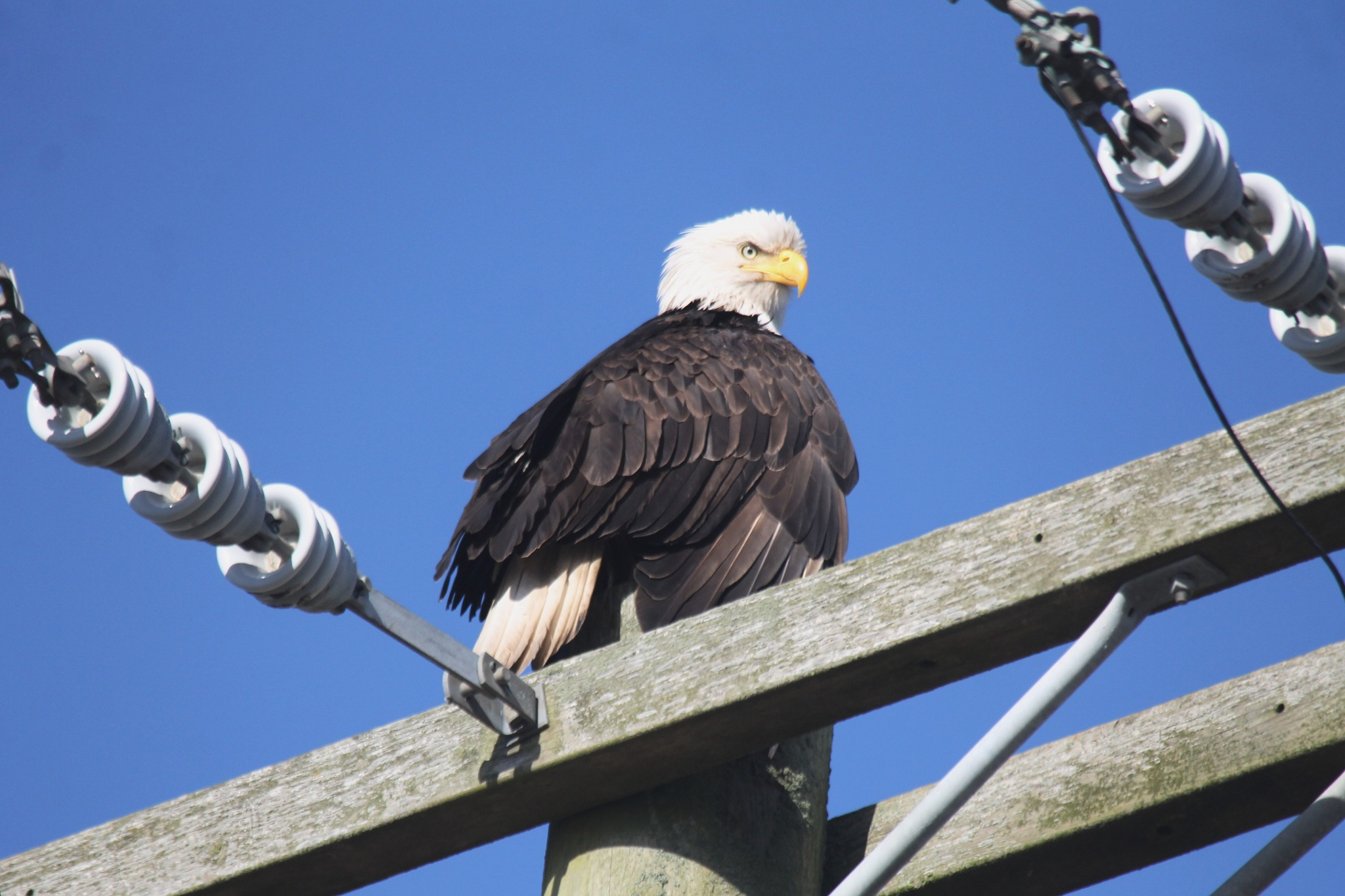 Angry Bald Eagle by henrywall63