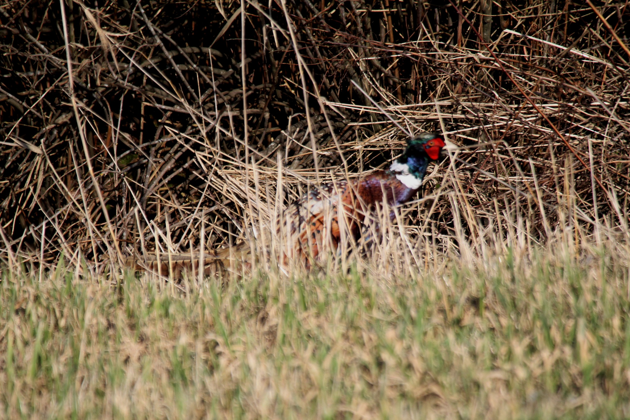 Pheasant by henrywall63