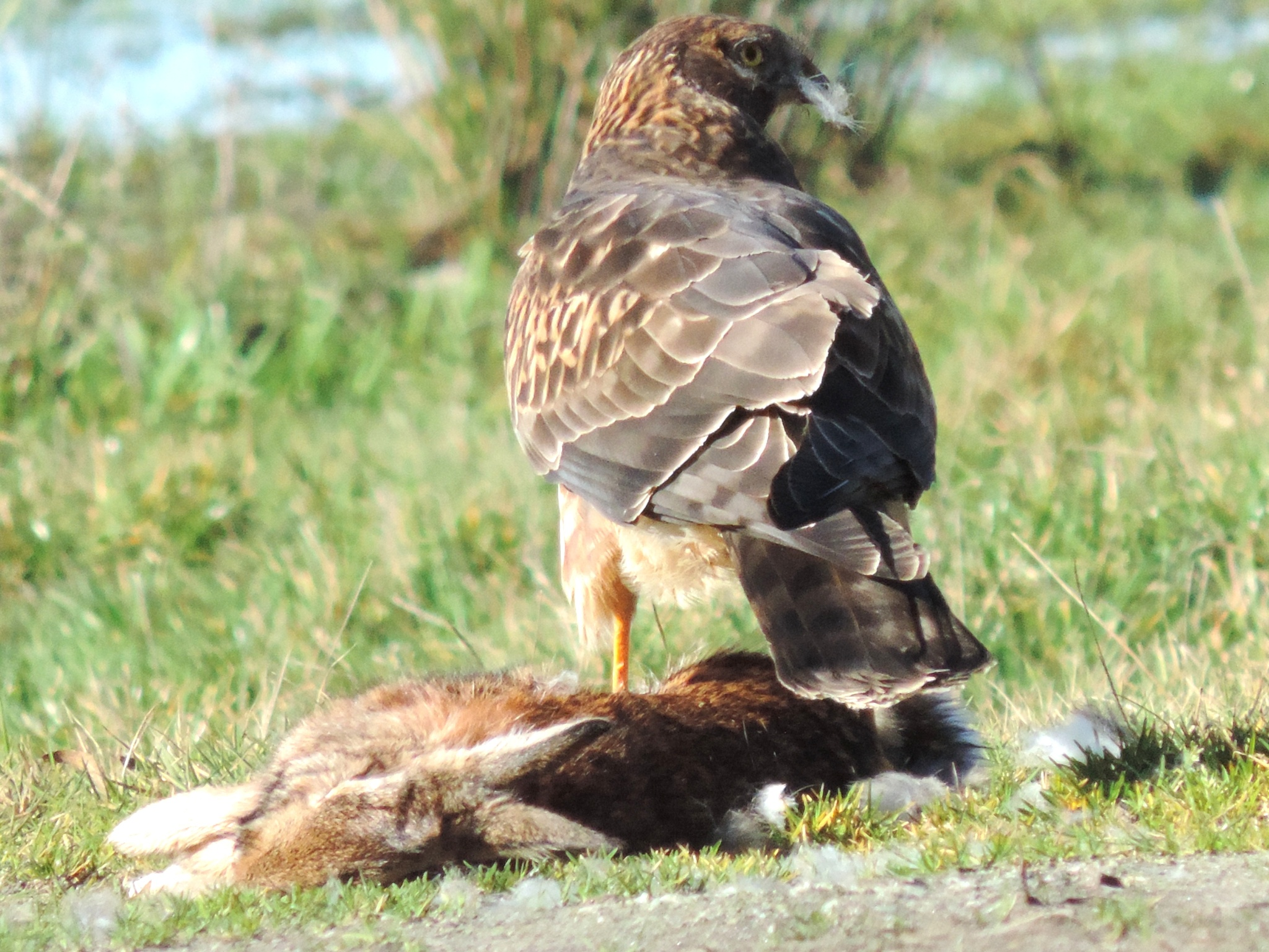 Red Tailed Hawk. by henrywall63