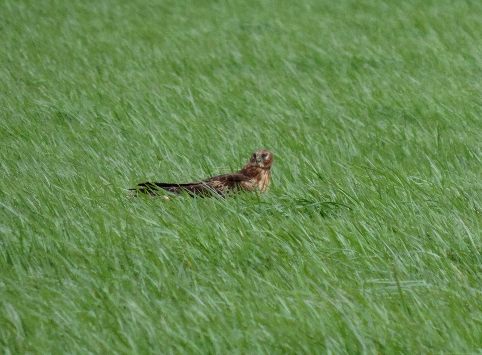 Northern Harrier. by henrywall63