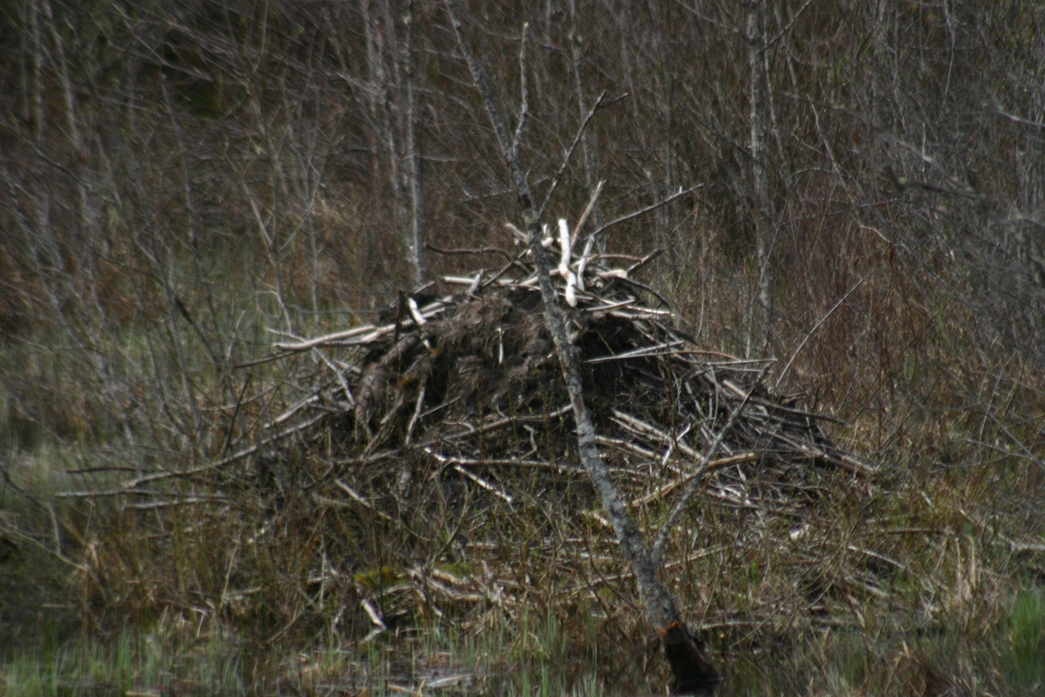 Beaver Lodge. by henrywall63