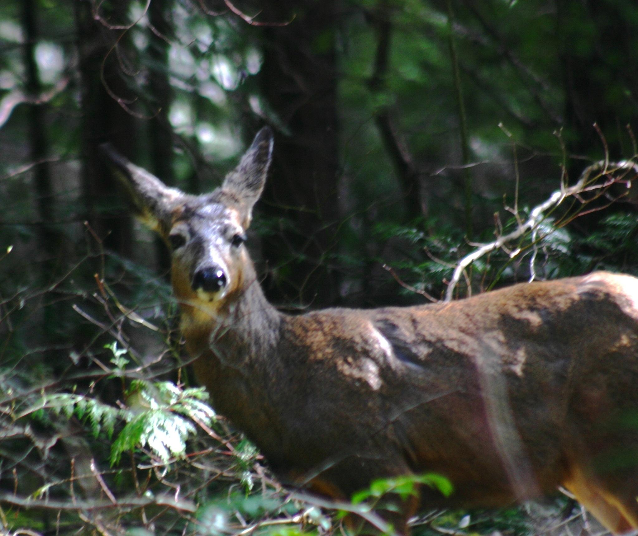 Black tailed Deer. by henrywall63