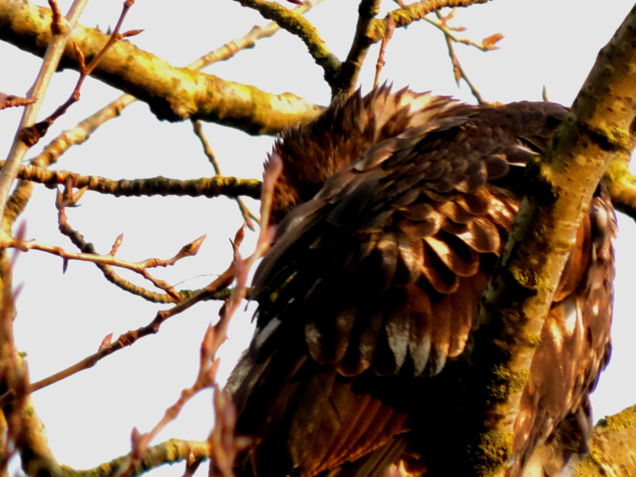 Golden Eagle by henrywall63
