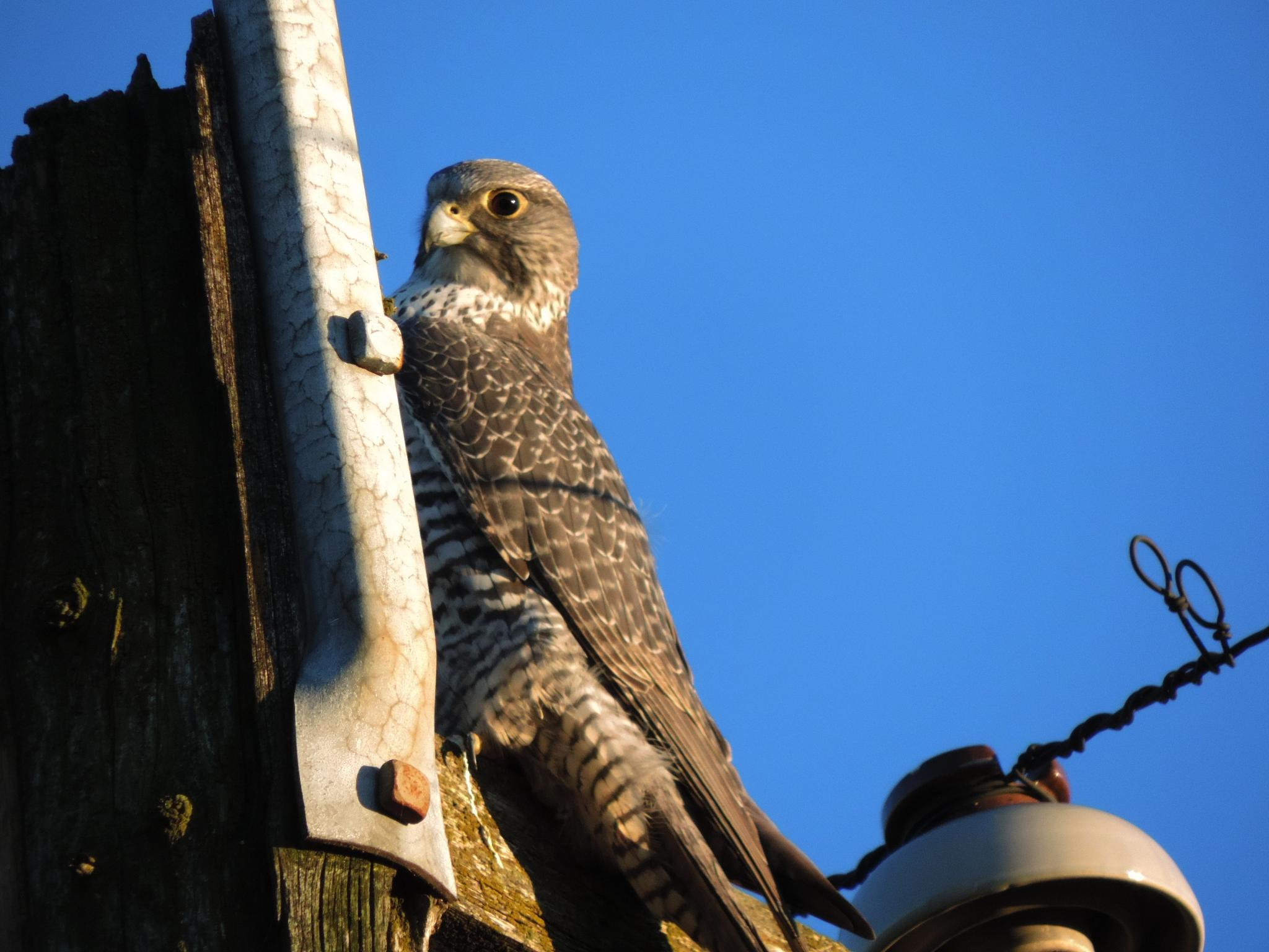 Gyr Falcon. by henrywall63