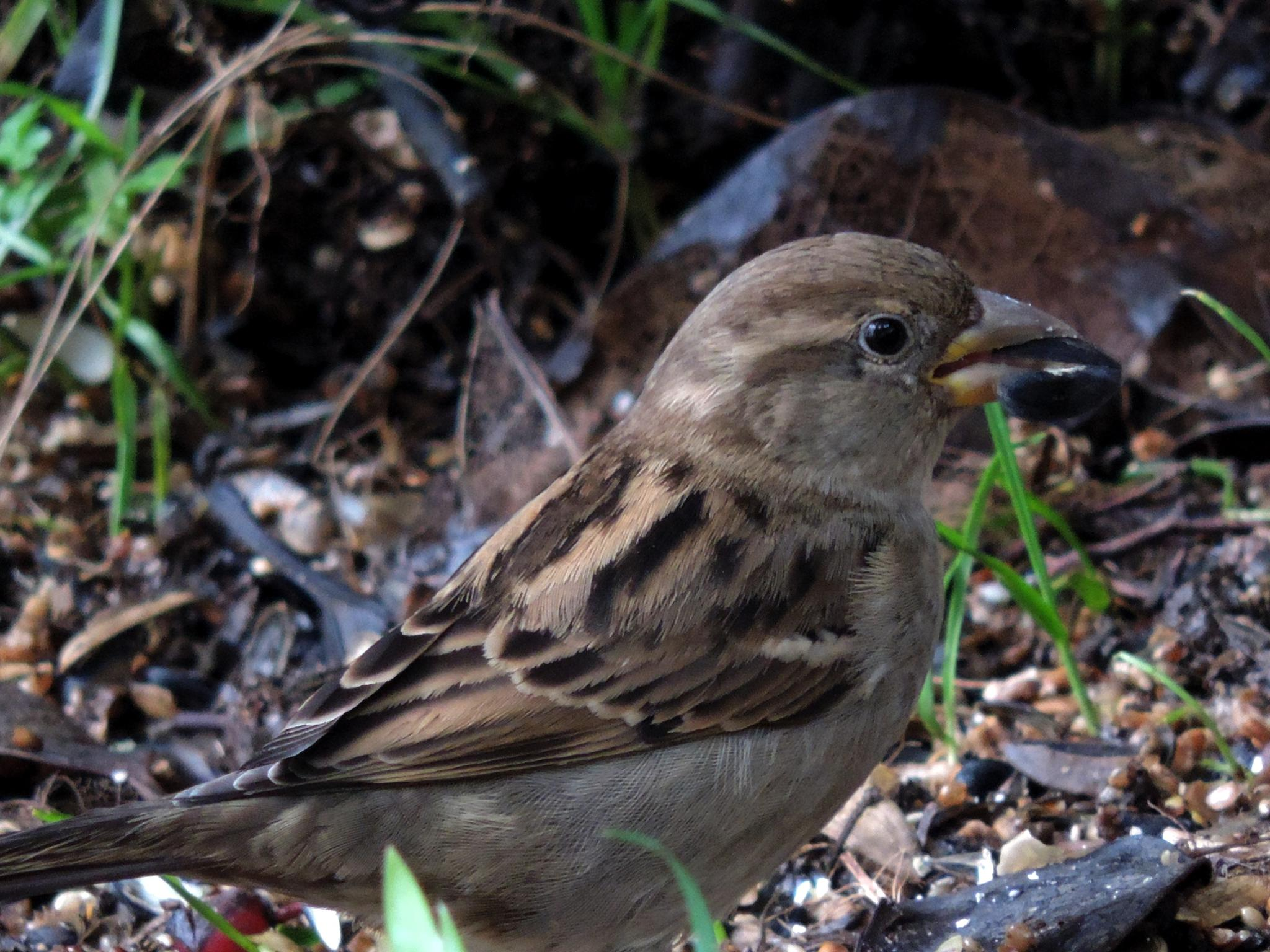 Female House Sparrow. by henrywall63