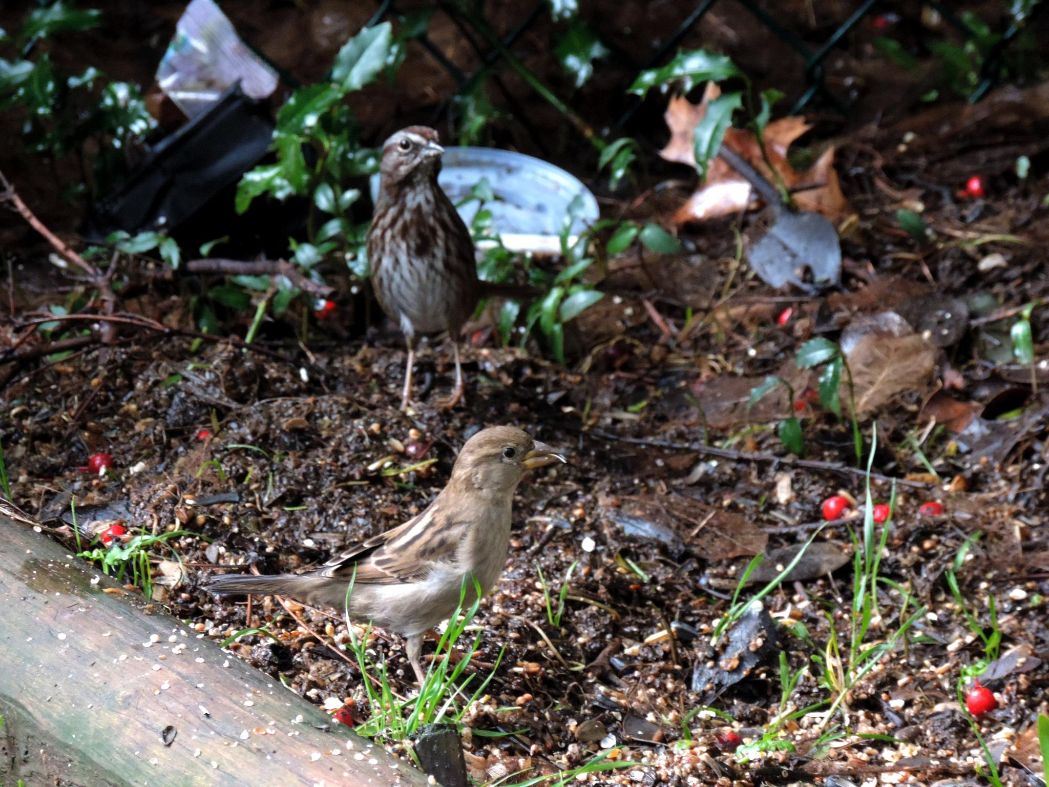 2 sparrows by henrywall63