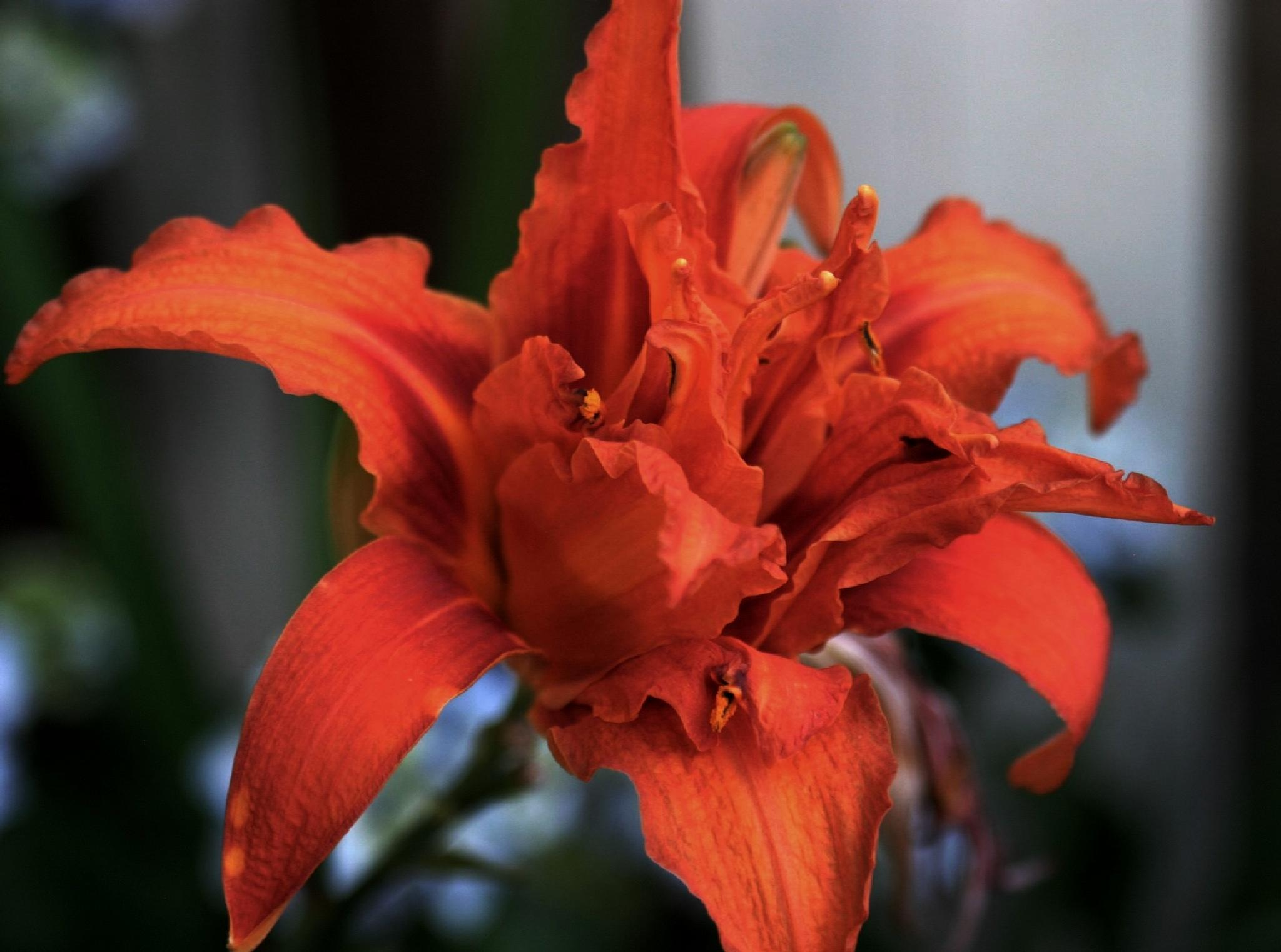 Day Lily by henrywall63