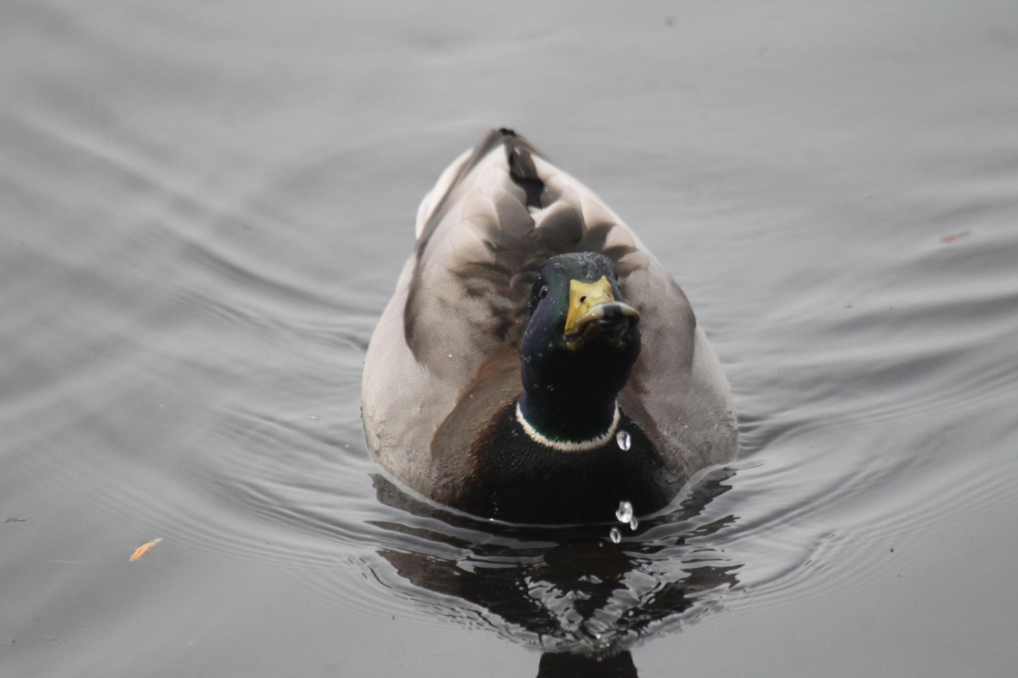 Mallard Duck. by henrywall63