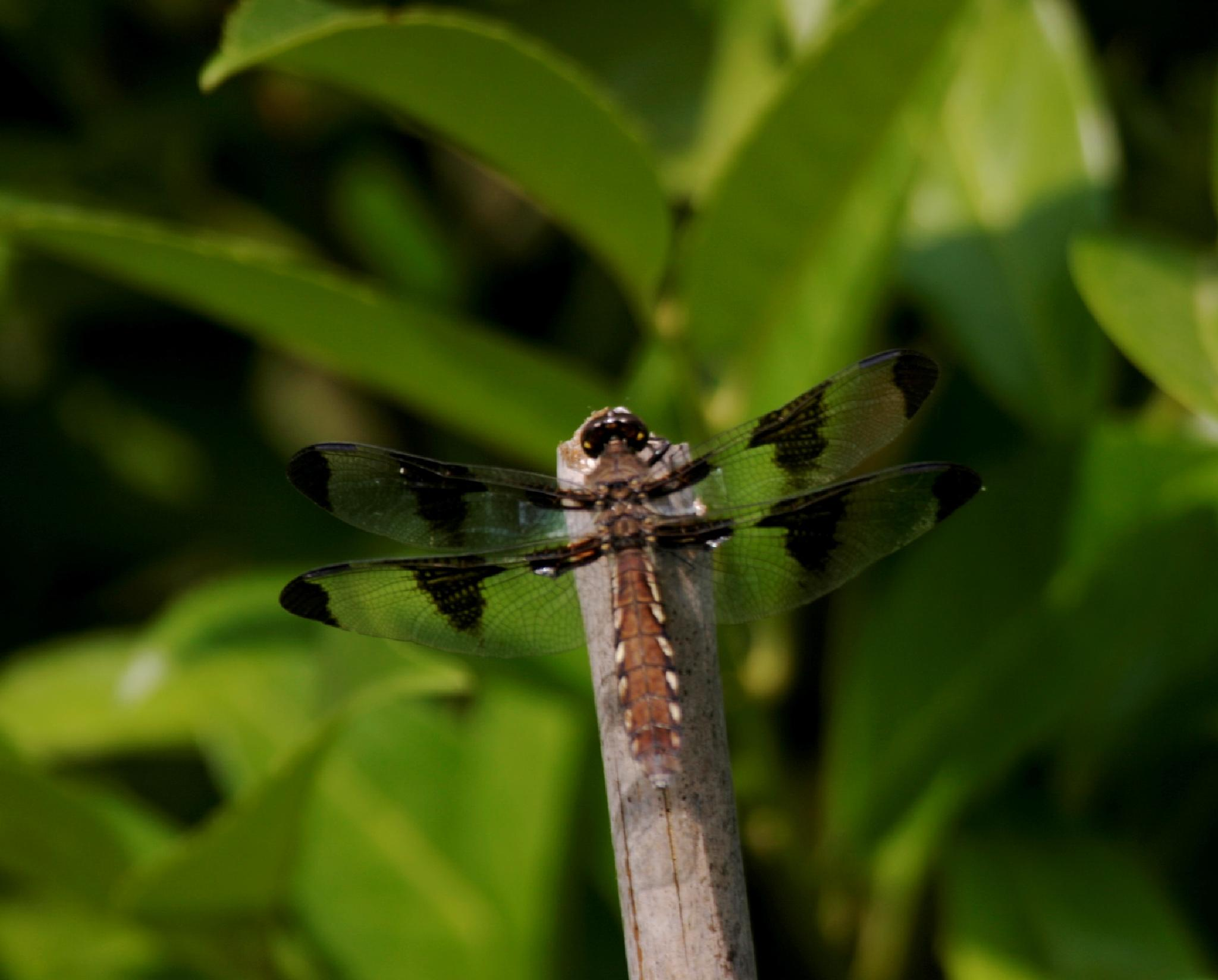 Brown Dragonfly by henrywall63