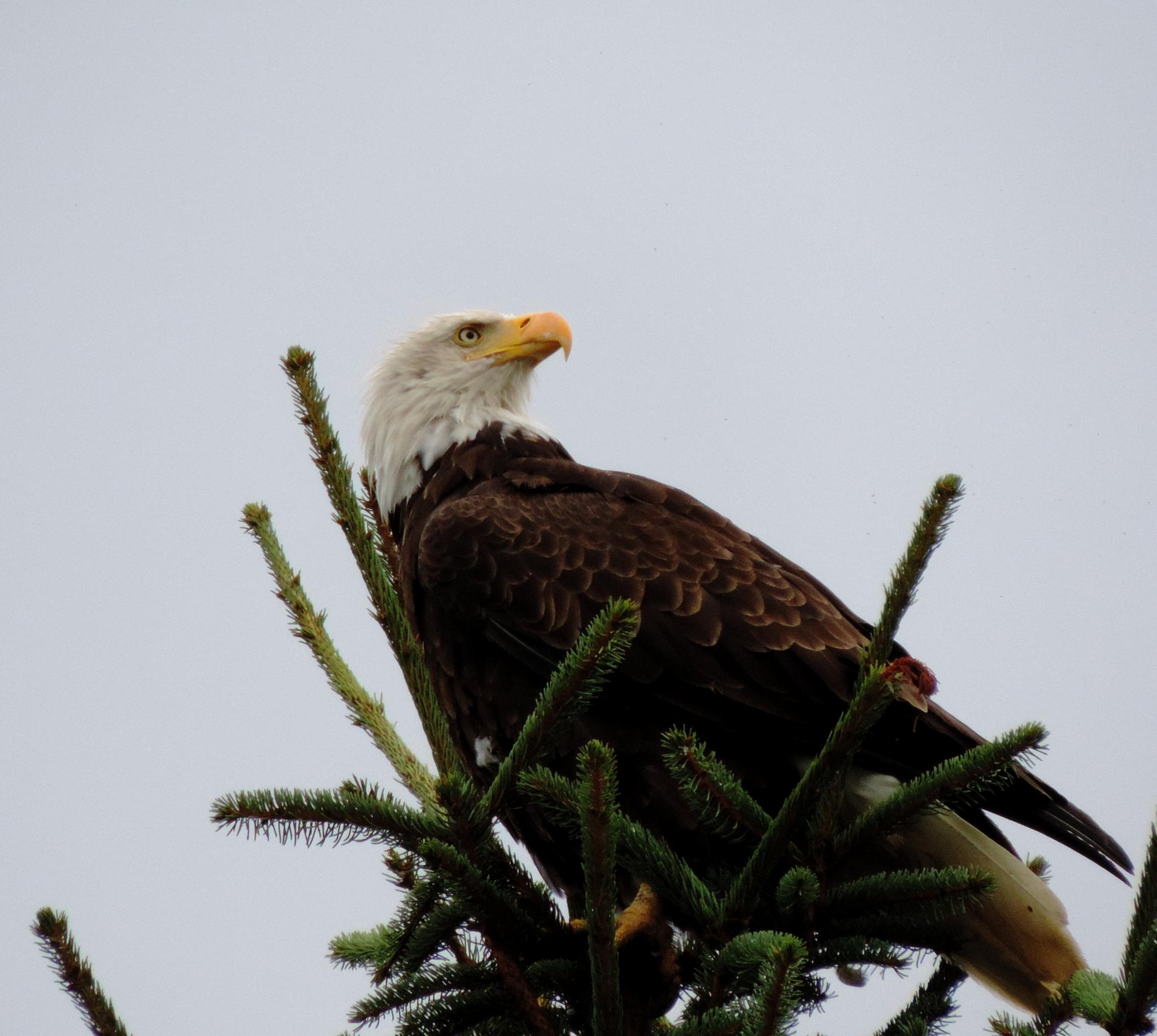 Bald Eagle. by henrywall63