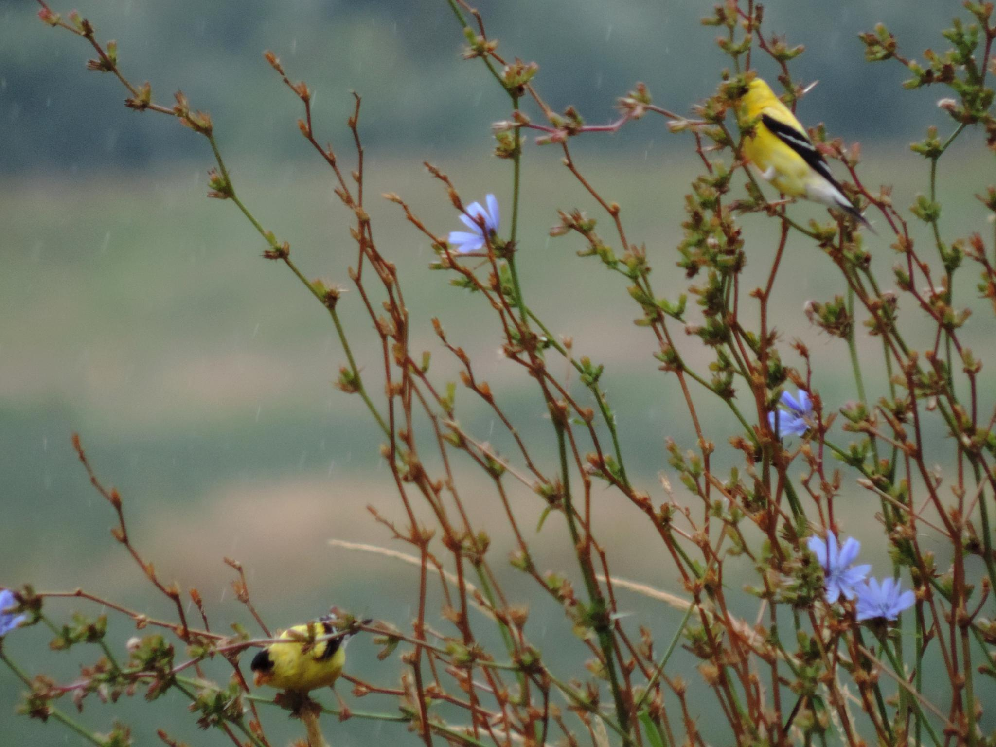 American Goldfinch. by henrywall63