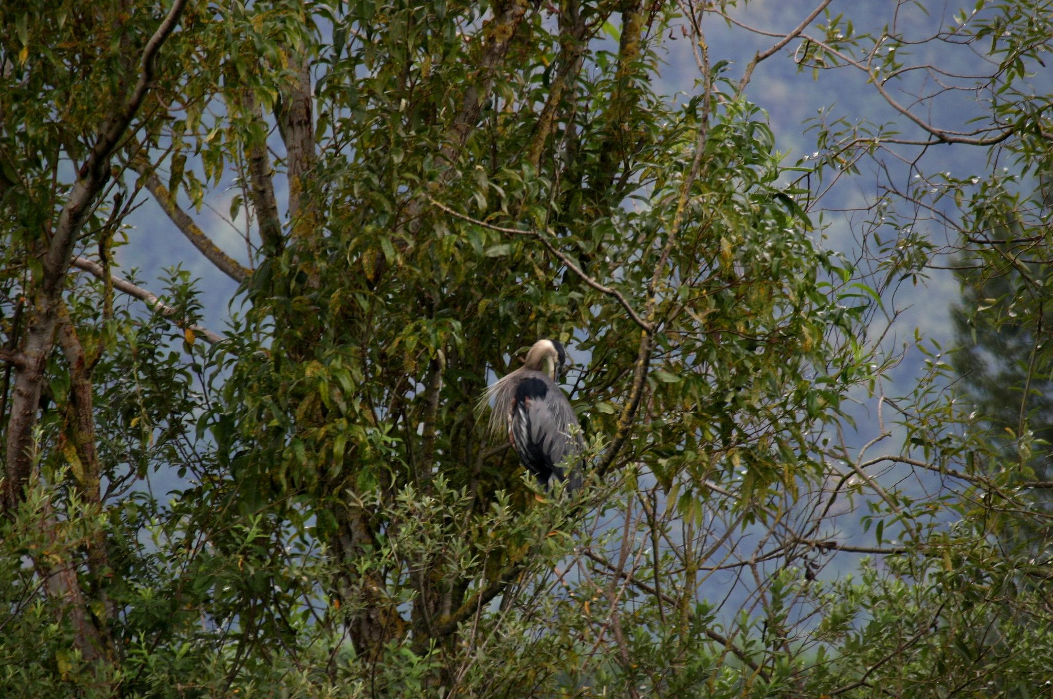 Great Blue Heron. by henrywall63
