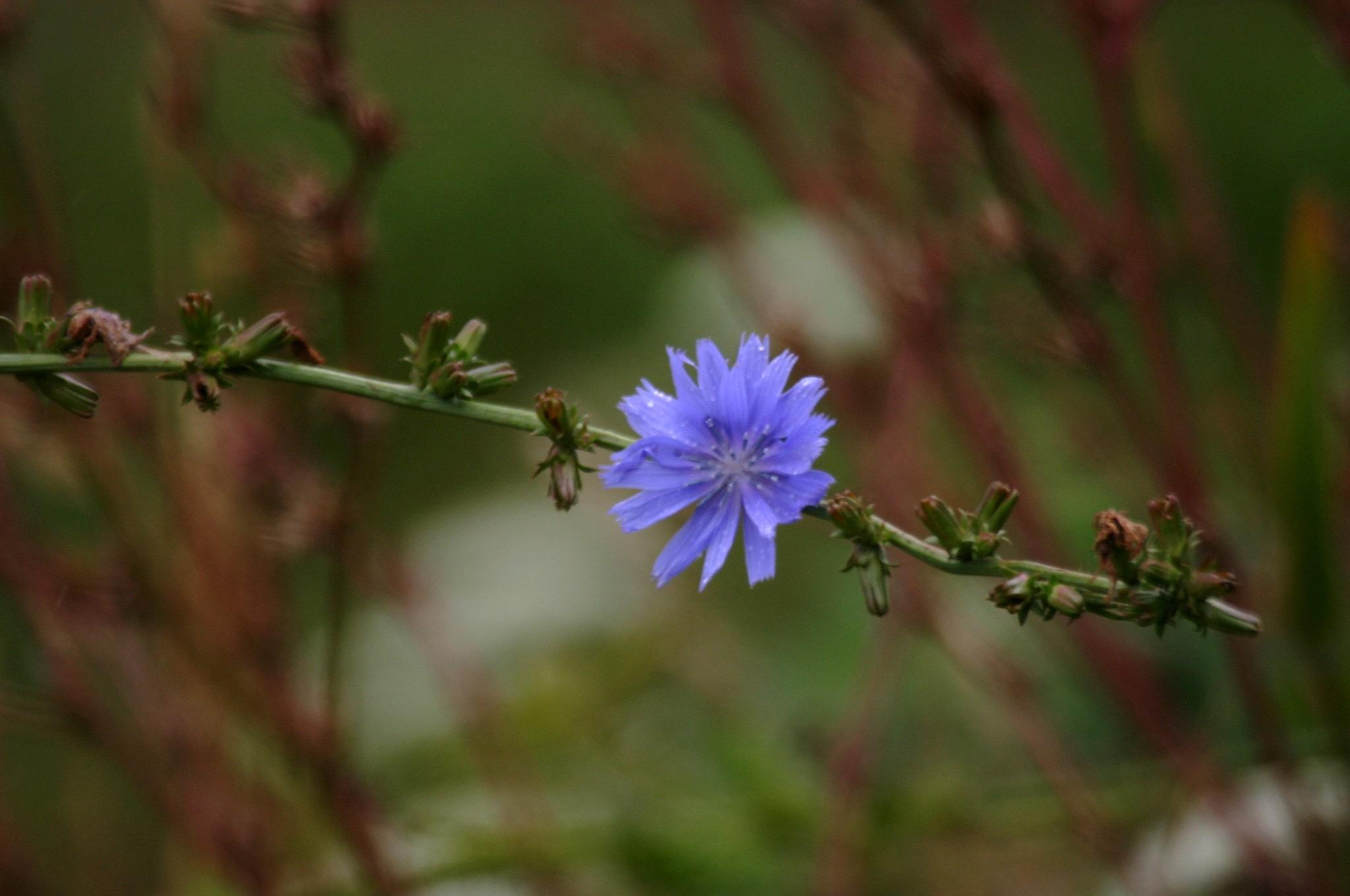Blue Wildflower. by henrywall63