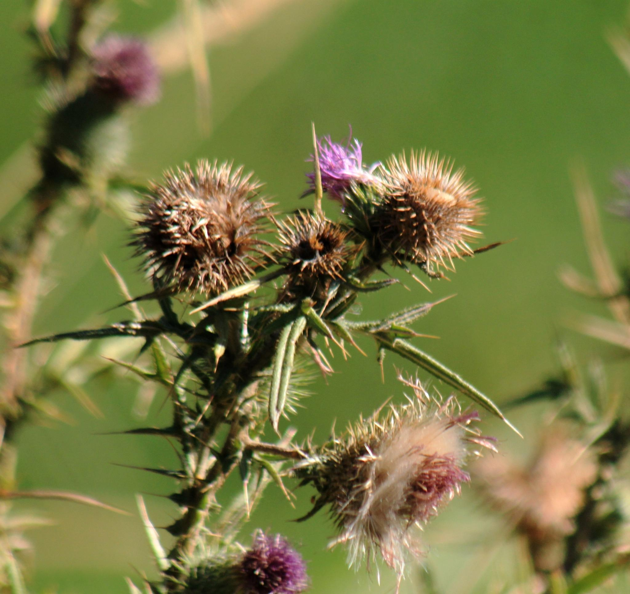 Thistle. by henrywall63