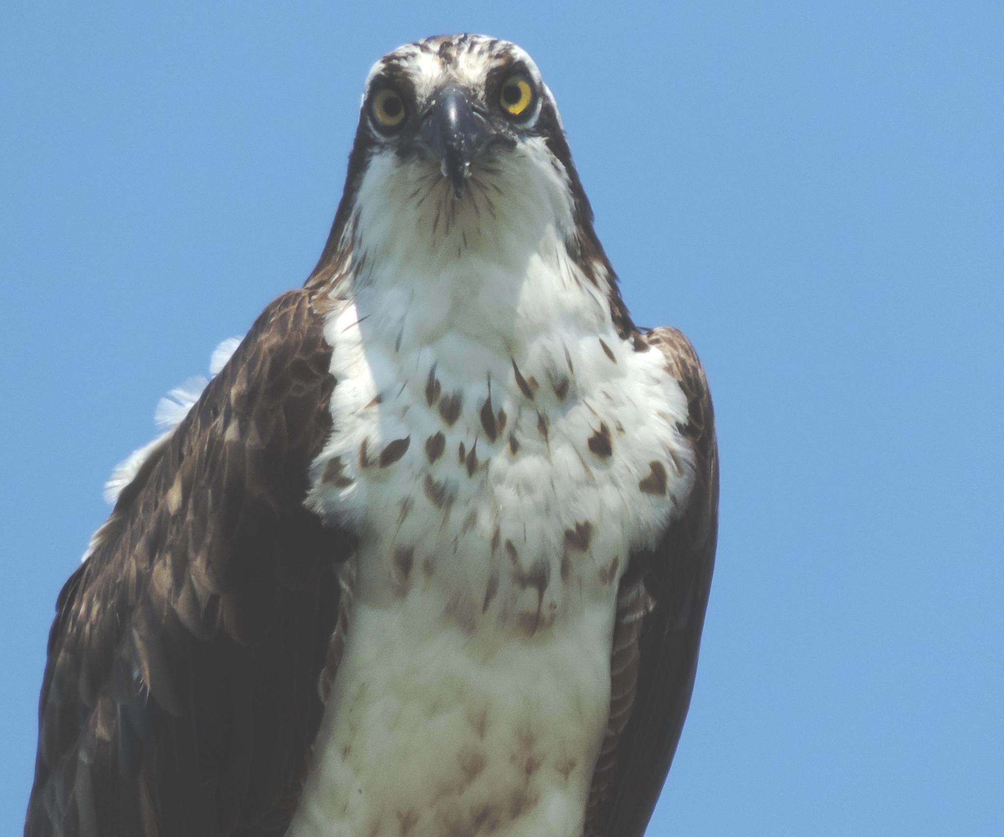 Osprey. by henrywall63