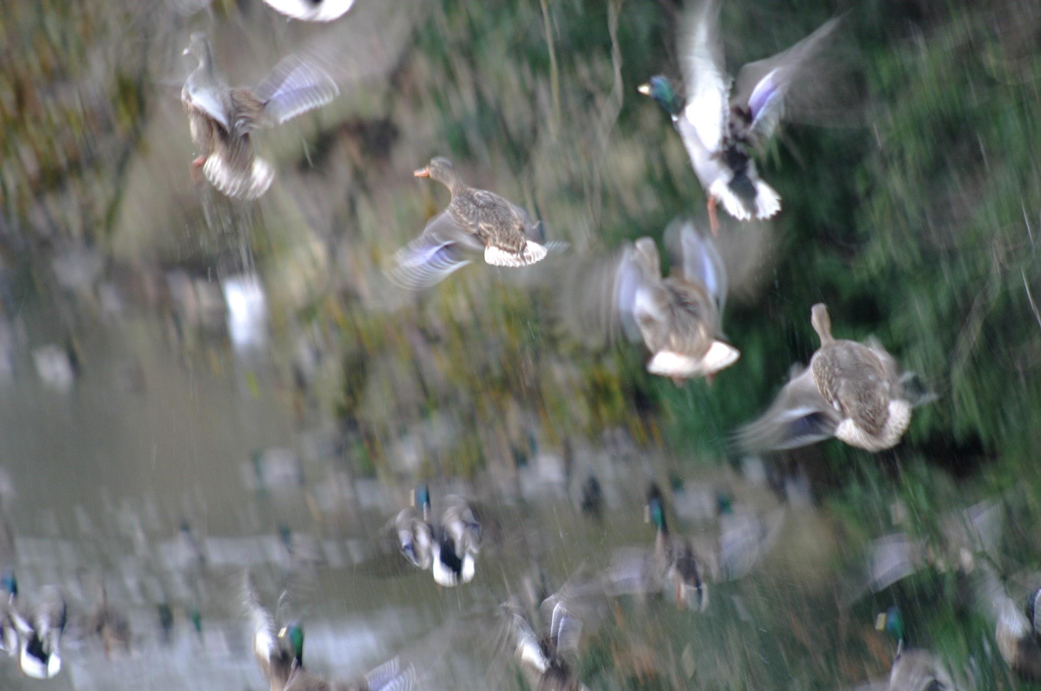 Mallard Ducks. by henrywall63