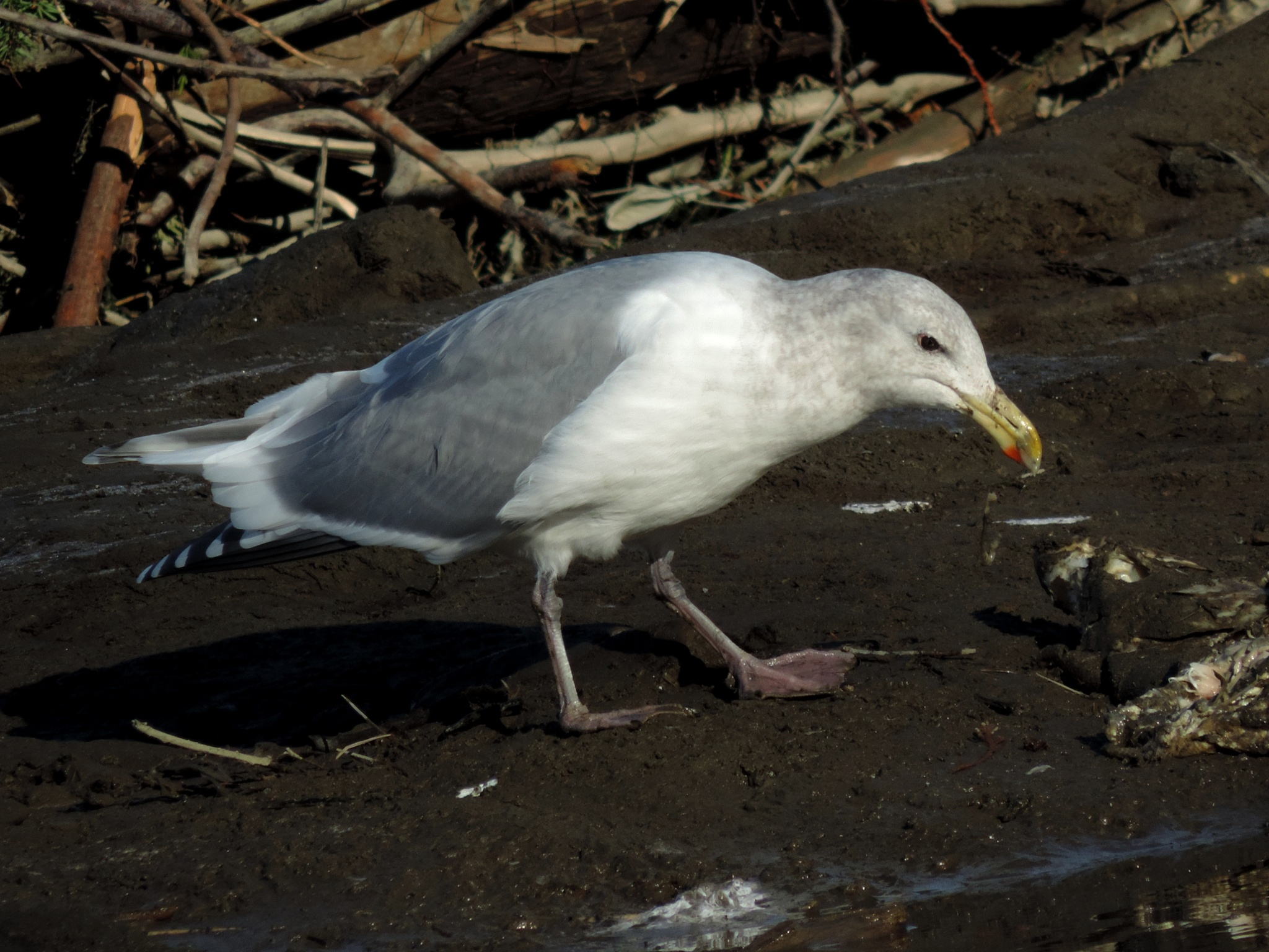 Glaucus Winged Gull. by henrywall63
