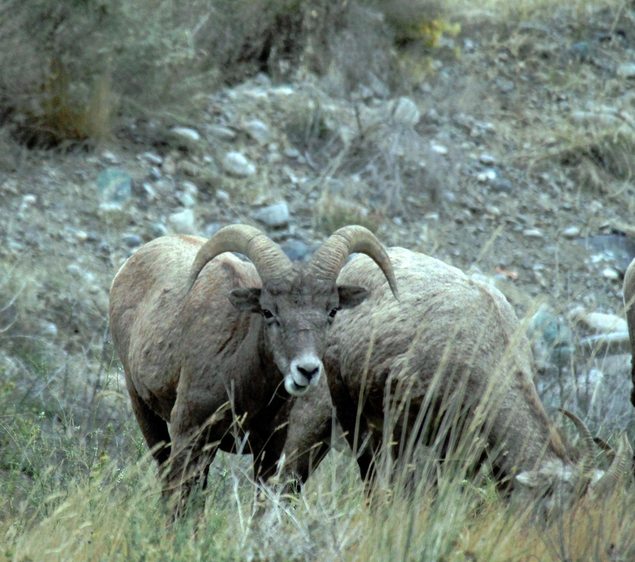 California Big Horn Sheep. by henrywall63