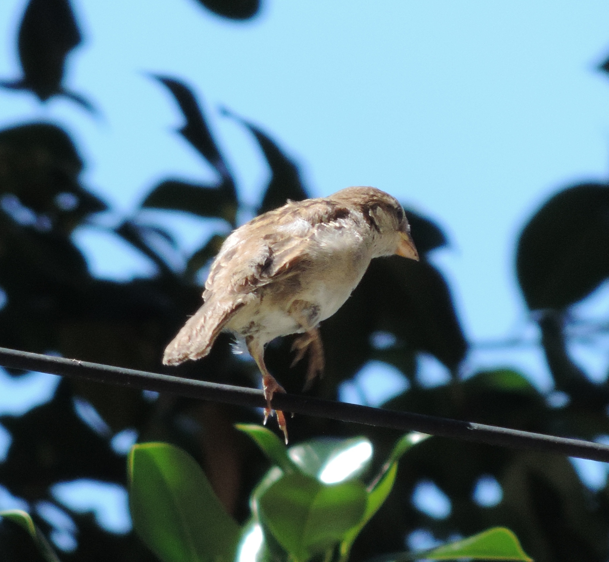 Juvenile House Sparrow. by henrywall63