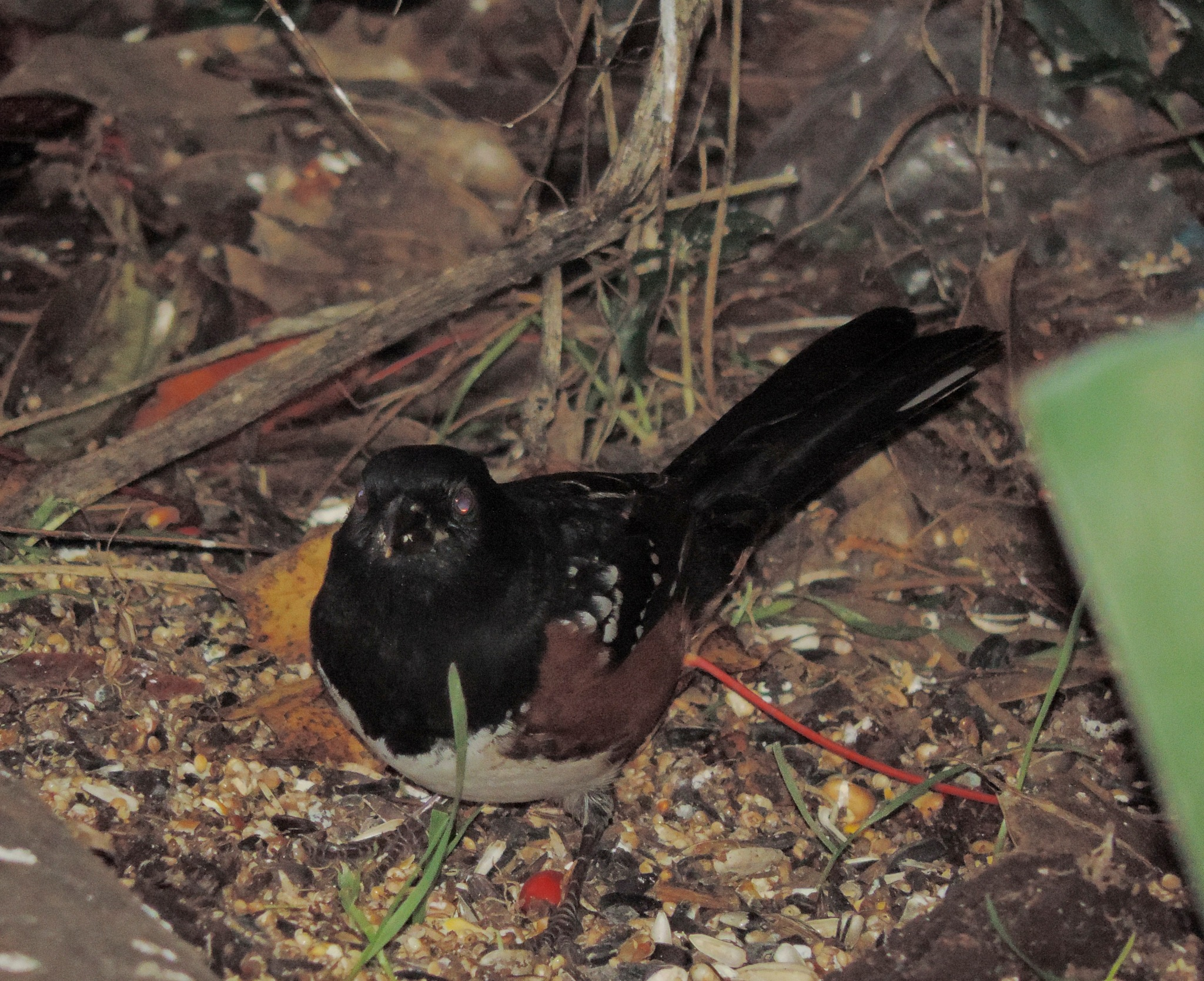 Spotted Towhee by henrywall63