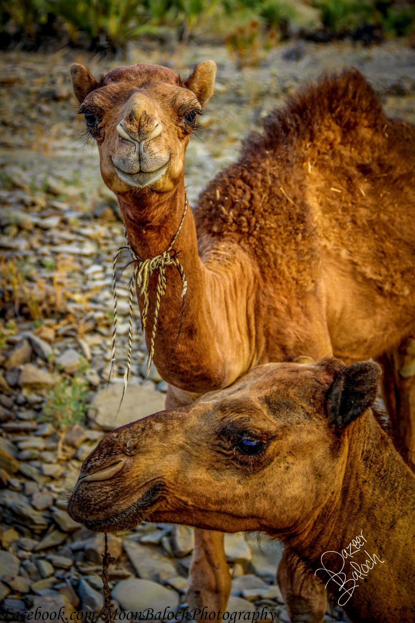 Camel by MoonBaloch