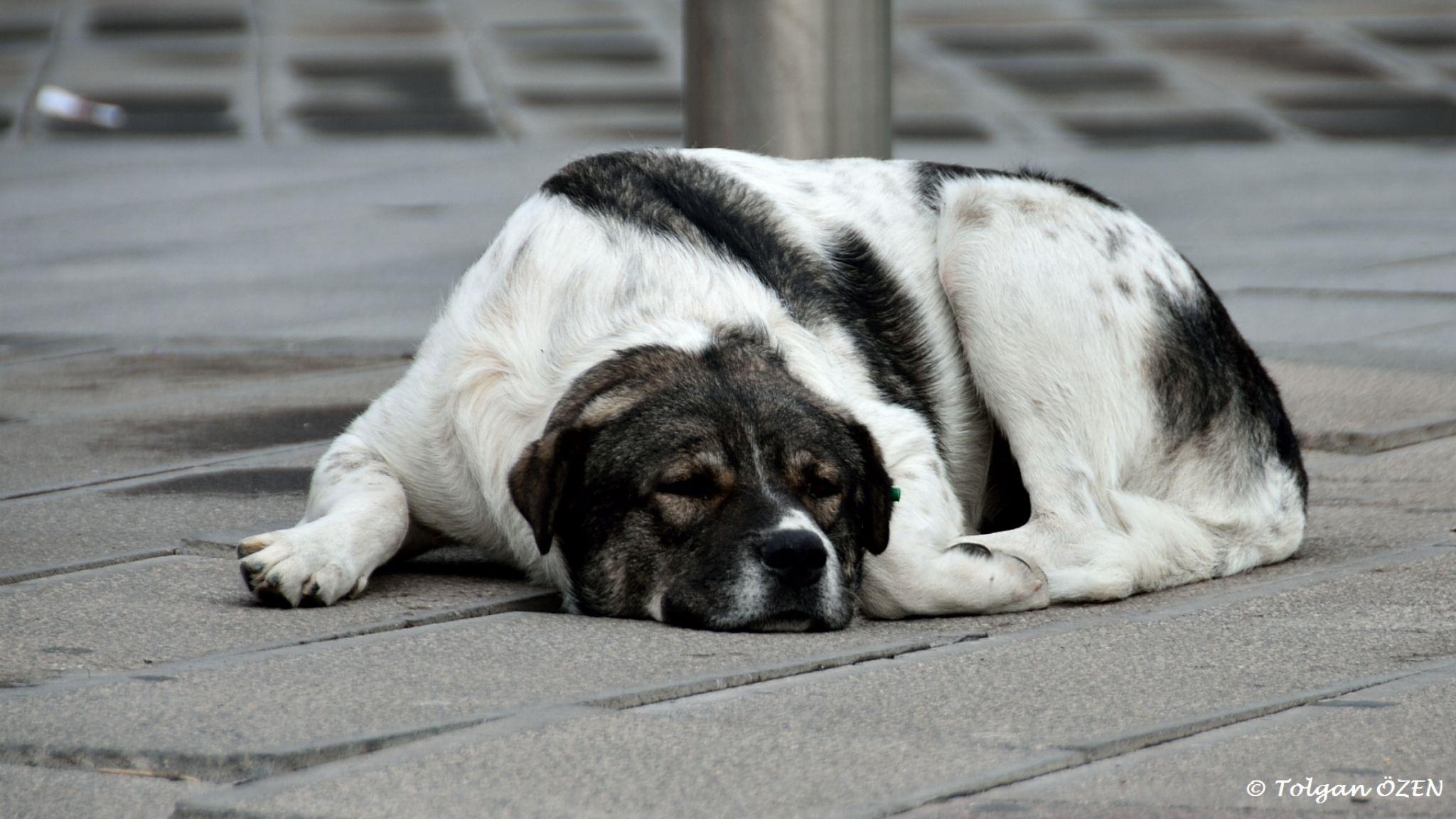 Resting Doggy by Tolgan ÖZEN