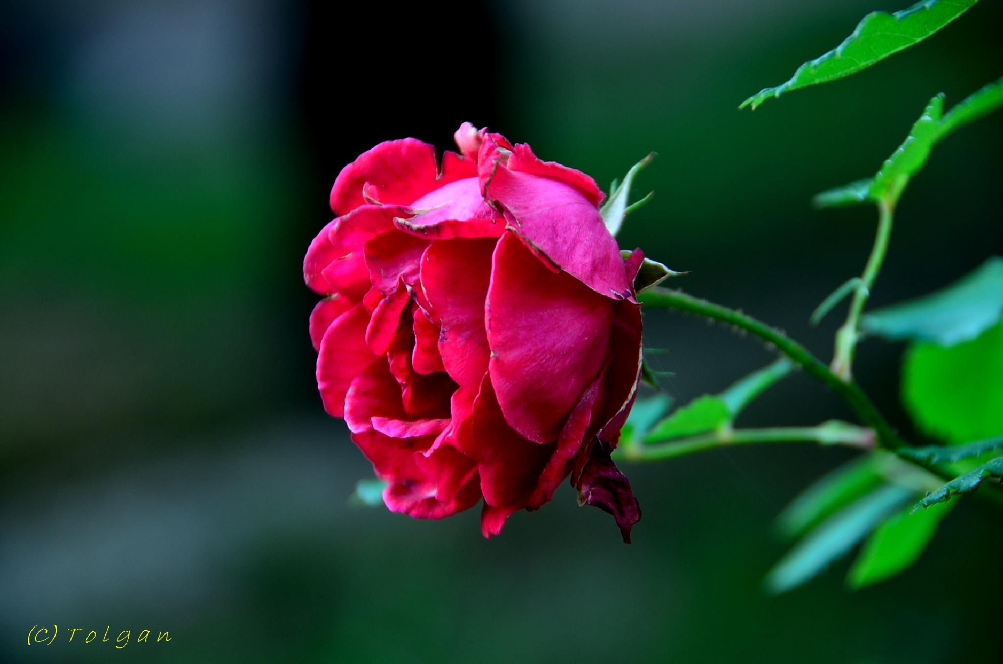 Rose by Tolgan ÖZEN