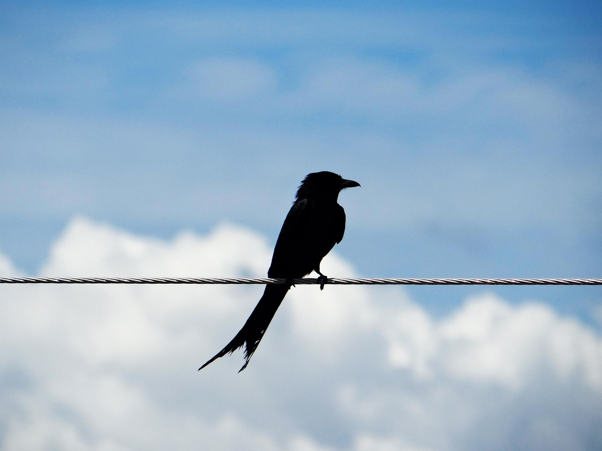 BlackBird by Asaduzzaman