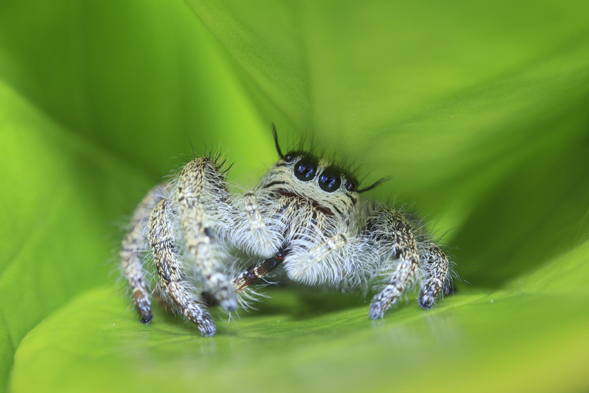 Jumping Spider by NUGROHO