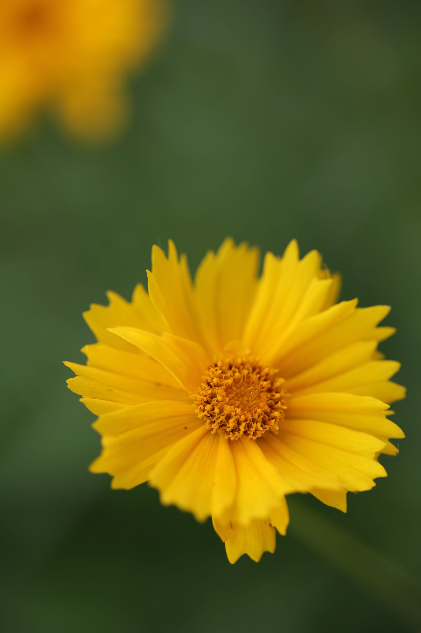 A Yellow Flower by Atila_Yumusakkaya