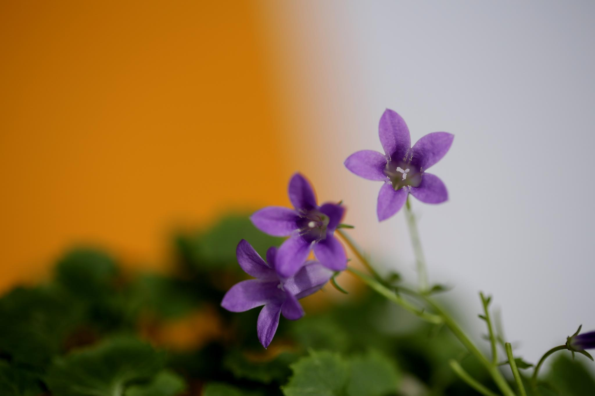 Bell Flower by Atila_Yumusakkaya