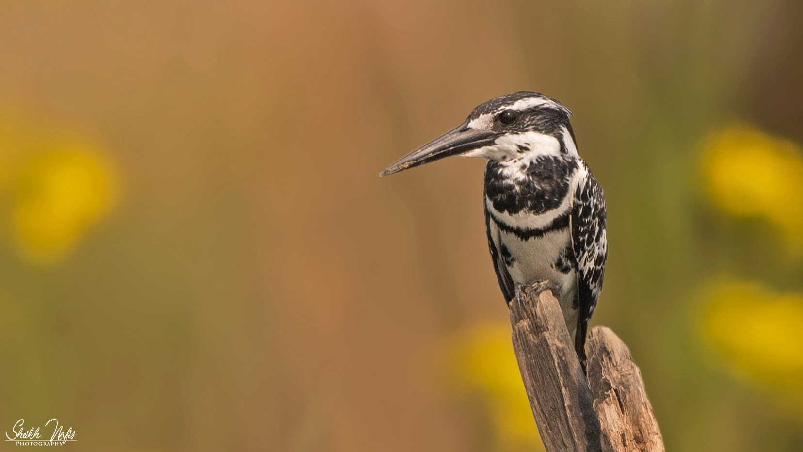Pied Kingfisher by Sheikh Nafis